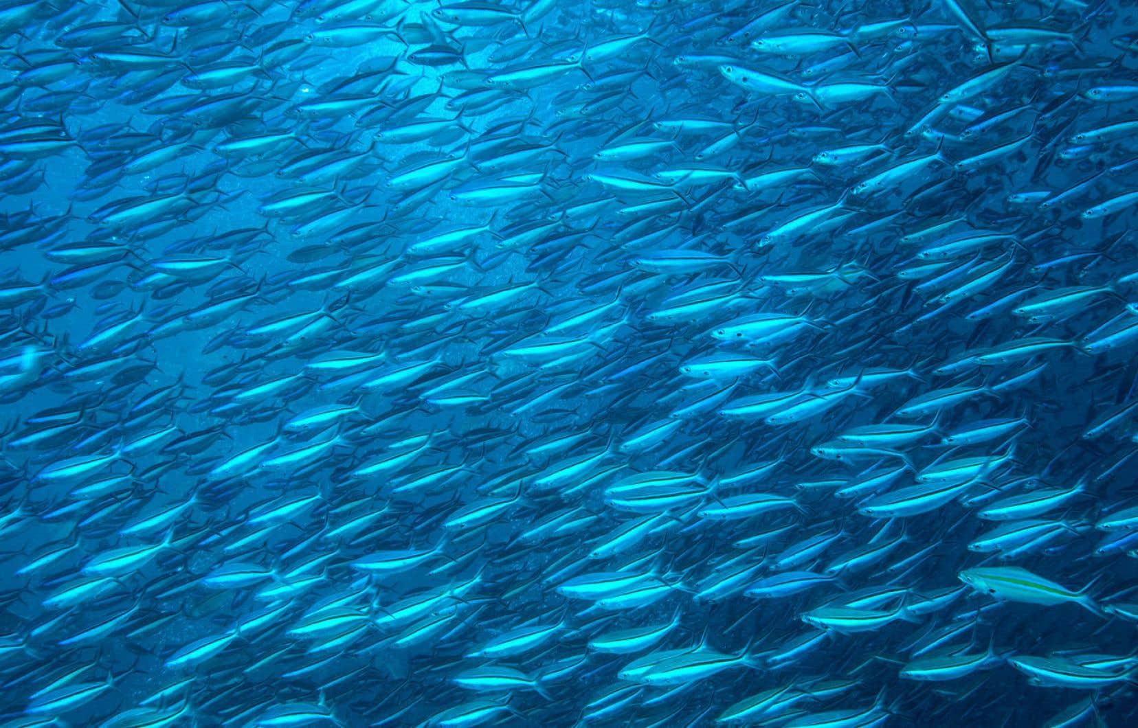 Un banc de sardines offre un spectacle impressionnant, alors qu'un million de ces petits poissons filent à vive allure dans un mouvement parfaitement coordonné, sans qu'aucun individu enheurte un autre.