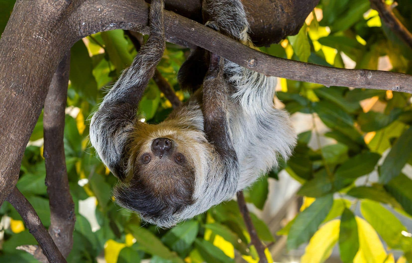 Au Biodôme, les visiteurs peuvent voyager à travers différents écosystèmes et découvrir le paresseux à deux doigts austral, entre autres.