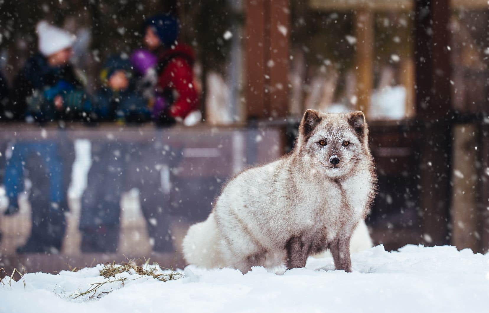 À l'Écomuséum, les familles pourront ainsi partir à la rencontre de la faune québécoise, notamment les renards arctiques.
