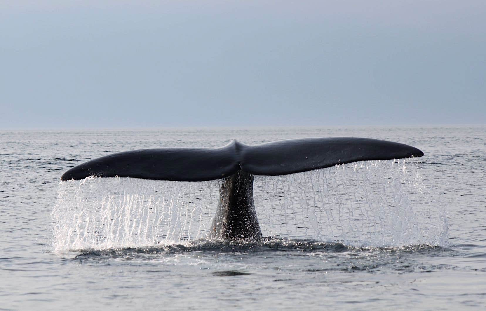 Plus du tiers de la population de baleines noires passe une partie de l'année dans le Saint-Laurent.