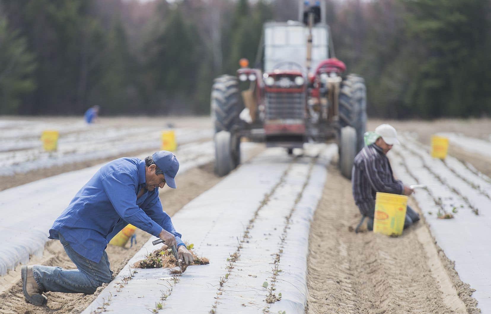 Les travailleurs étrangers temporaires forment aujourd'hui plus de 30% de la main-d'œuvre agricole du Québec.