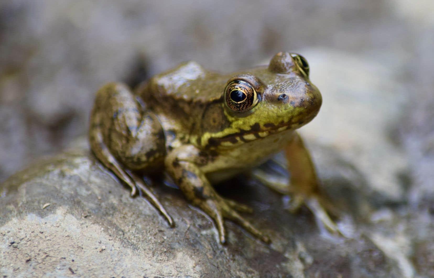 Les batraciens du Québec sont confrontés à la dégradation de leurs habitats, en raison de l'activité humaine.