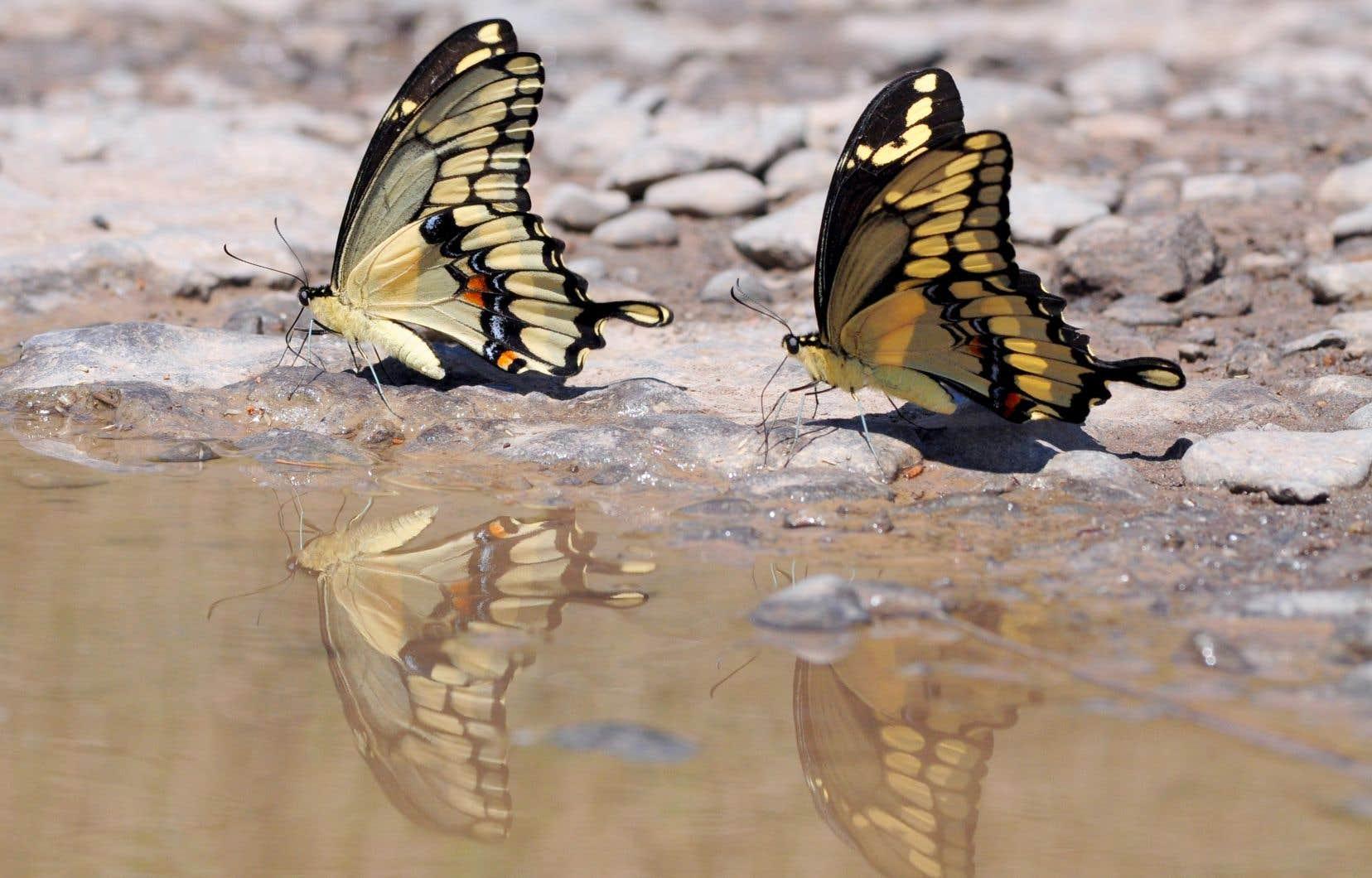 Ce n'est qu'au printemps 2012 que les toutes premières chenilles de «Papilio cresphontes» ont été observées sur un frêne épineux du Jardin botanique de Montréal.