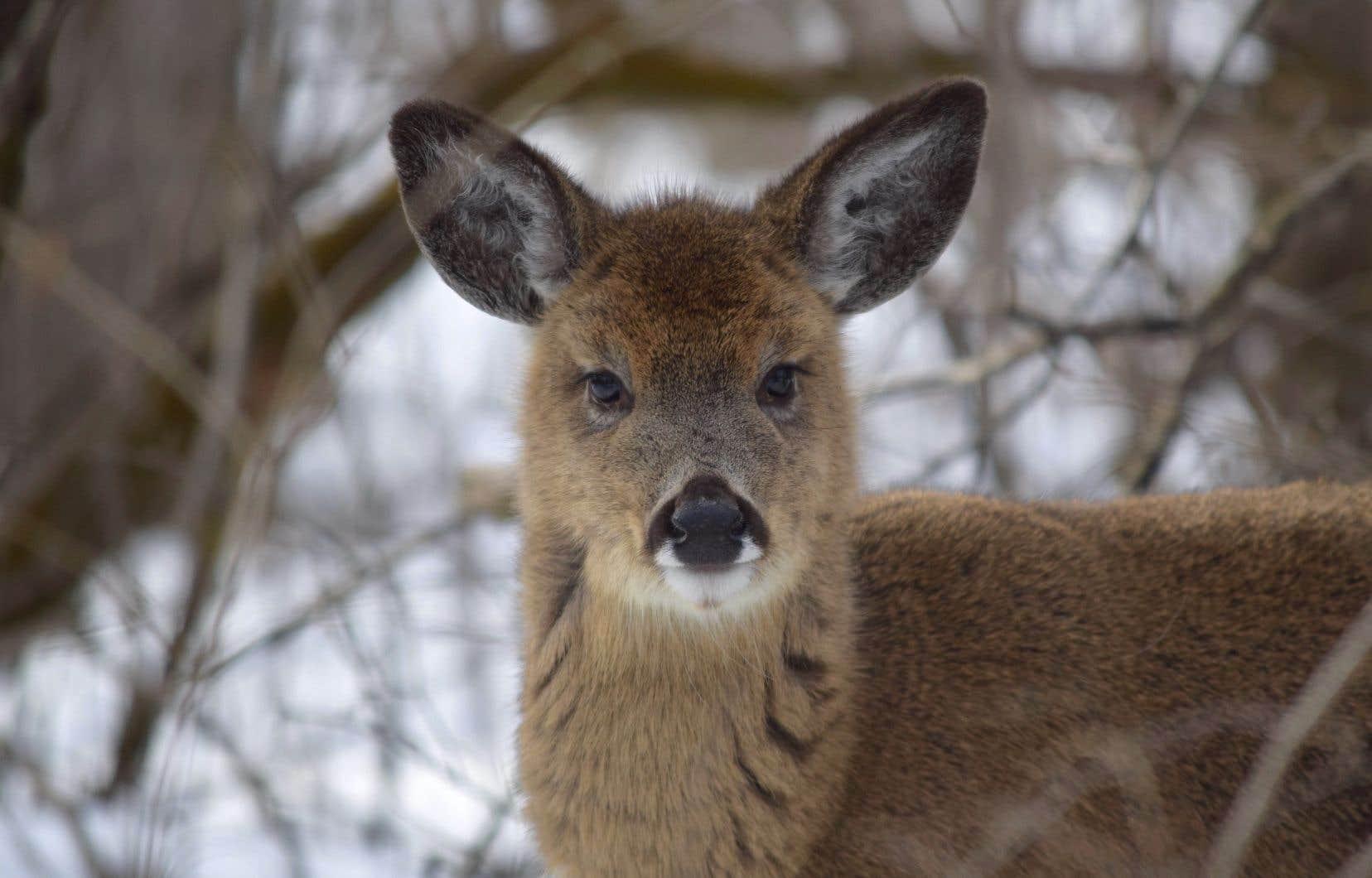 On compte une trentaine de cerfs de Virginie dans le parc Michel-Chartrand, à Longueuil. Ceux-ci ont un impact significatif sur la végétation.