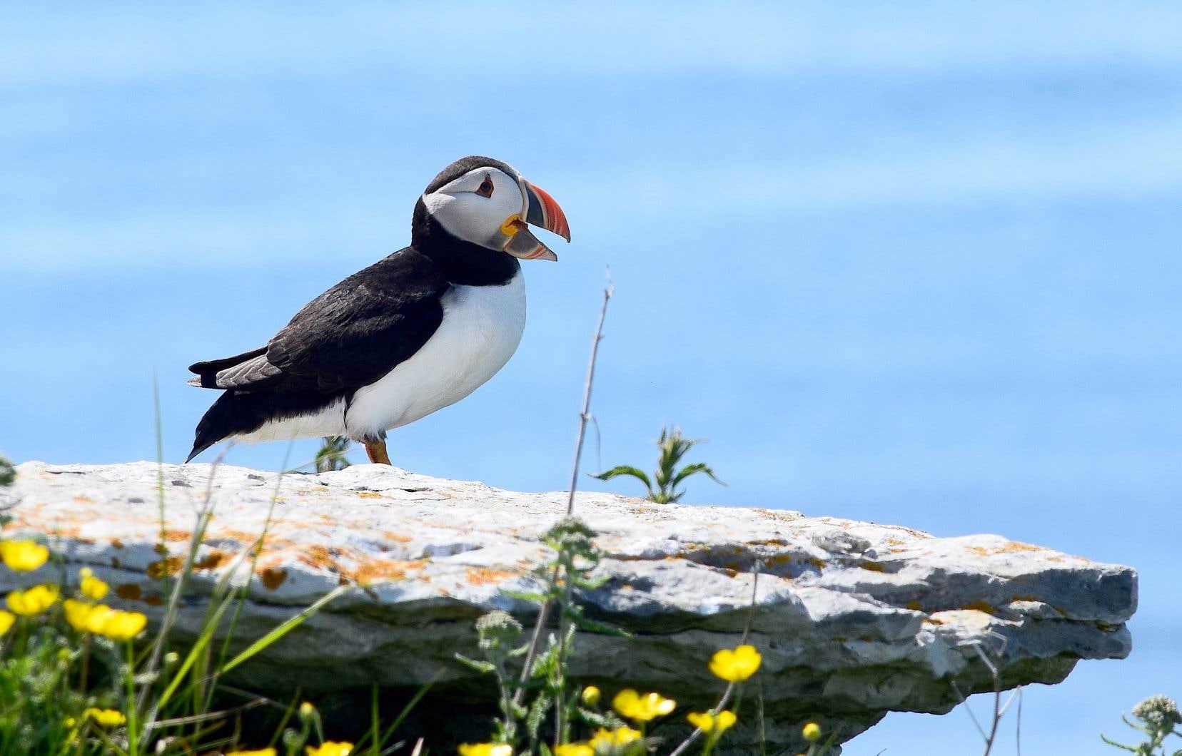 La diminution des stocks de harengs pourrait menacer les populations de macareux moines, un oiseau marin qui niche sur des îles du golfe du Saint-Laurent.