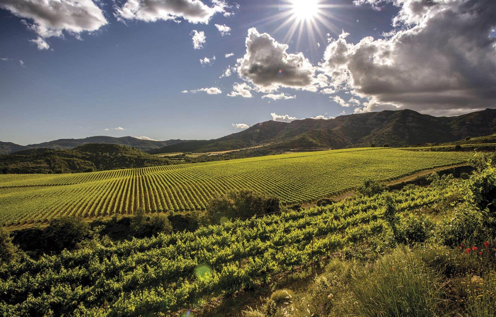 Cépages ancestraux au vignoble de Sant Miquel, en Catalogne.
