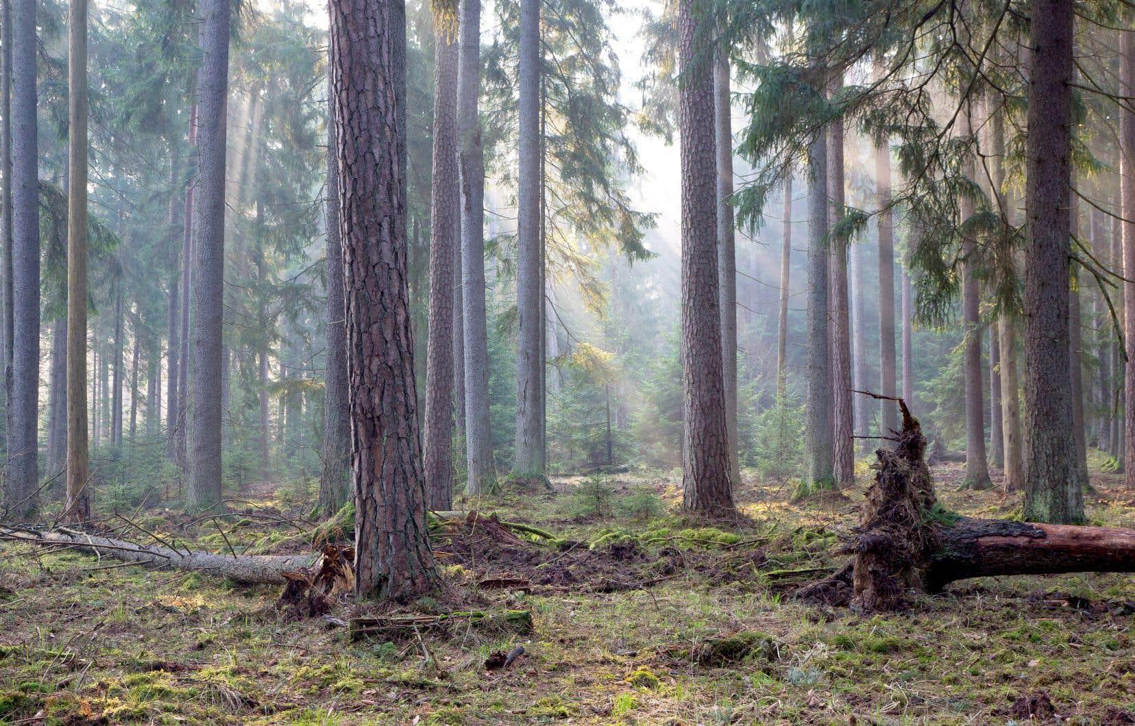 Abritant 250 espèces d'oiseaux, 59 espèces de mammifères et des centaines de mousses en tout genre, la forêt primaire de Białowieża est classée au patrimoine mondial de l'UNESCO depuis 1979.
