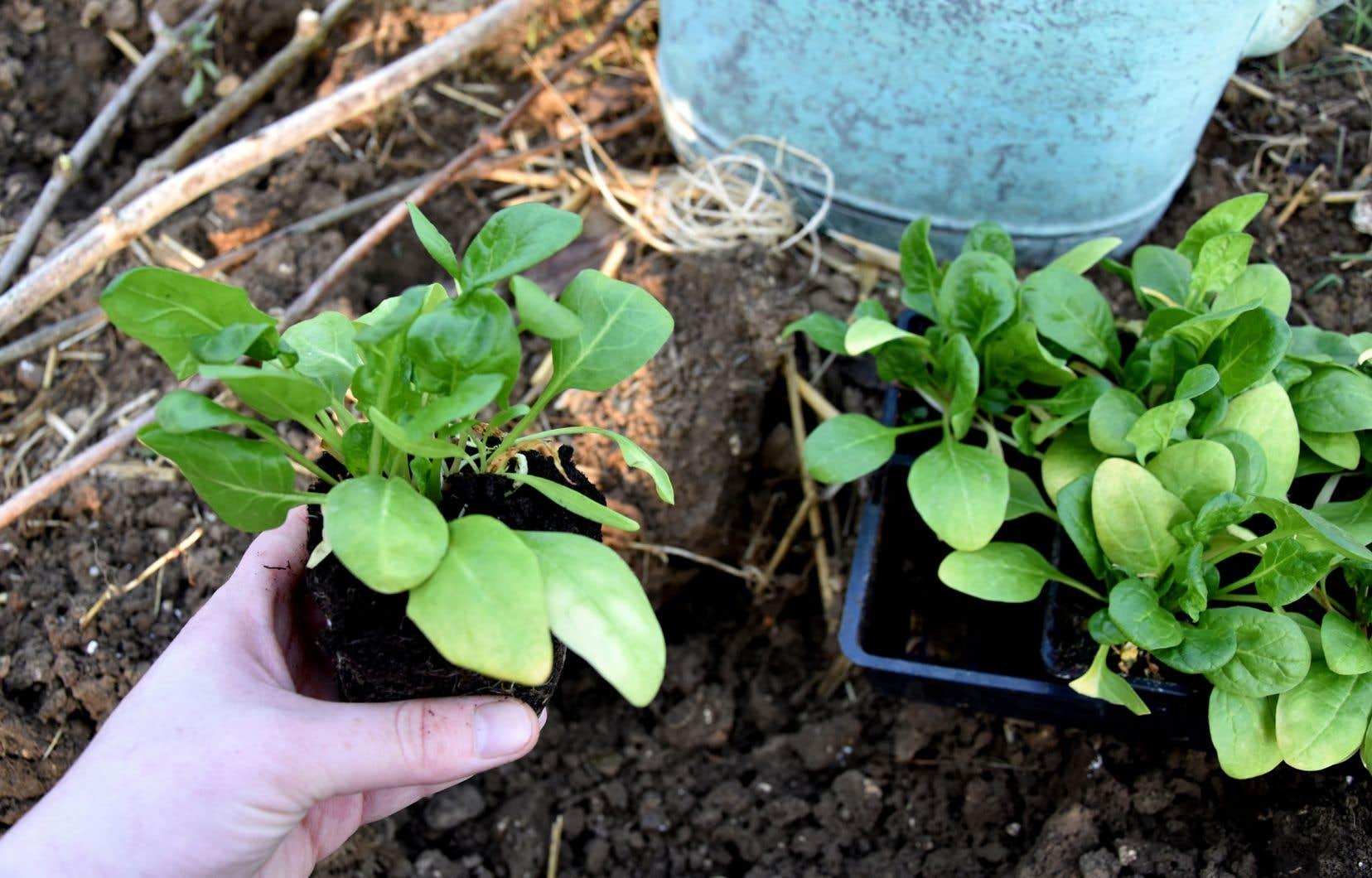 Plusieurs cultures, dont les épinards, peuvent être plantées trois à quatre semaines avant la date du dernier gel.