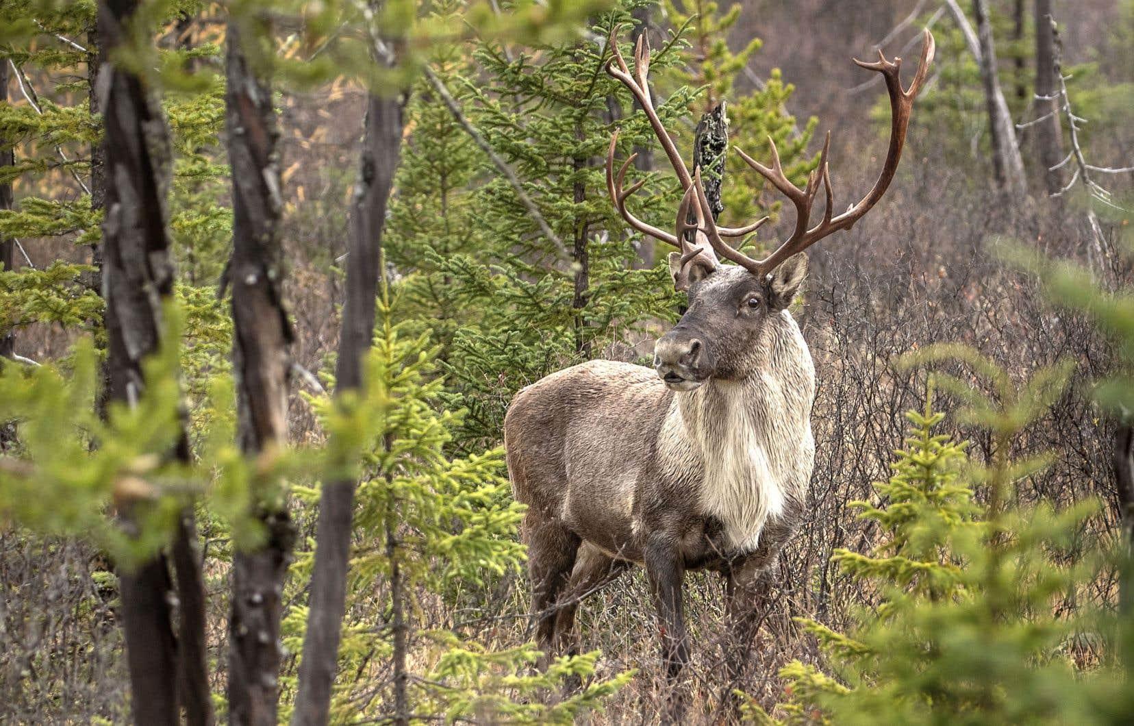 En Gaspésie, où les caribous constituent un attrait touristique, «il est prévu que la capture se concentre sur les femelles gestantes».