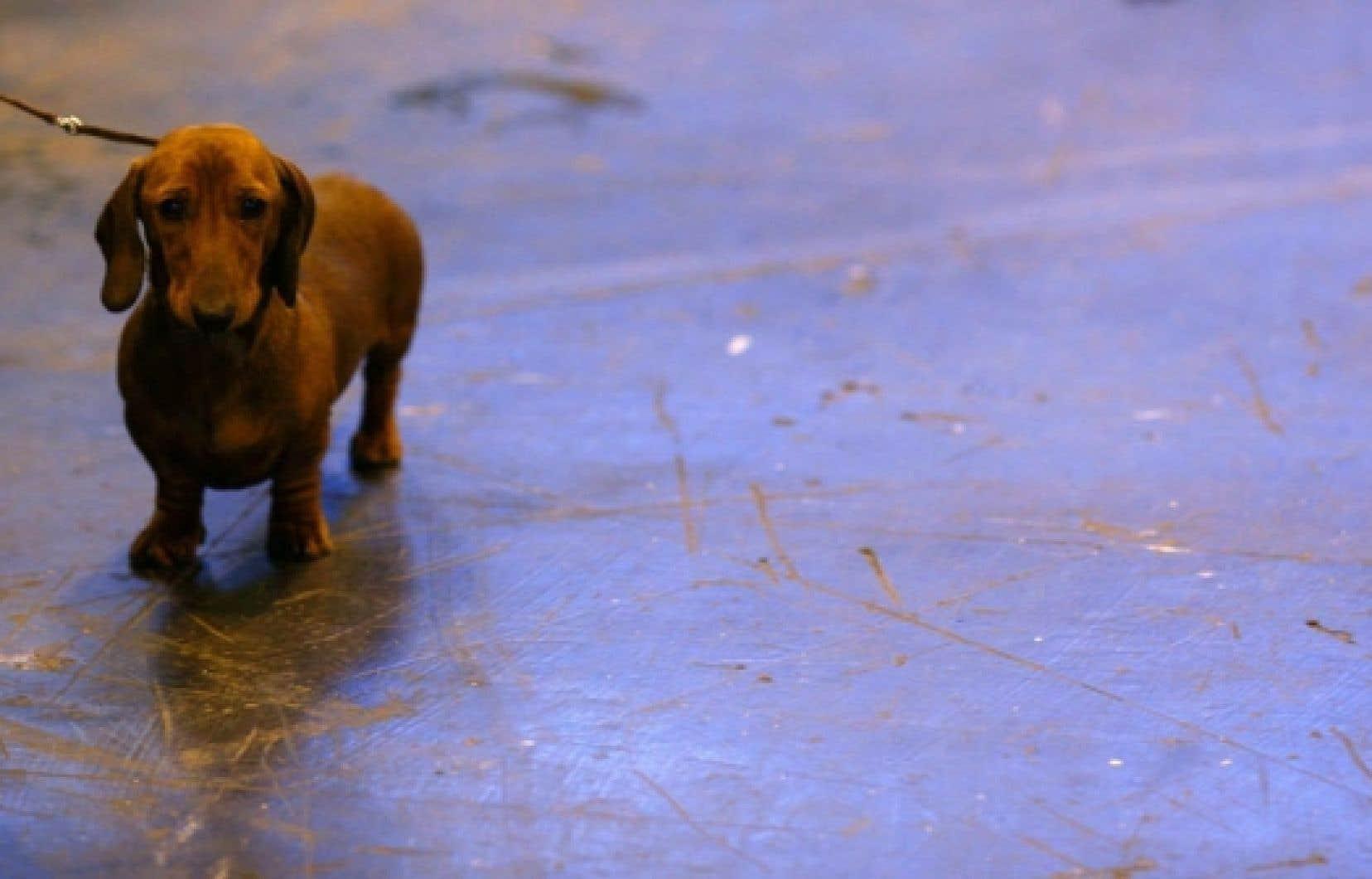 La SPCA croit que la Ville devrait se doter de son propre service animalier. «Il faut que la Ville cesse de subventionner l'euthanasie et regarde le contrôle animalier de façon proactive», estime sa porte-parole, Alanna Devine.<br />