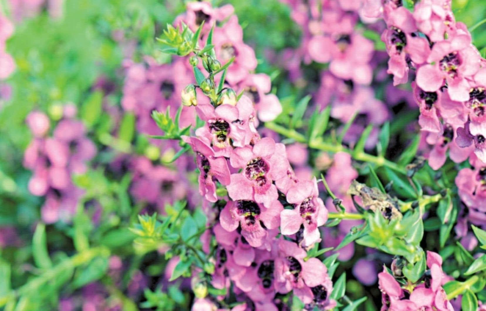 Les fleurs de l&rsquo;Angelonia angustifolia &laquo;Carita Raspberry&raquo; ressemblent aux orchid&eacute;es. Cette plante fleurit tout l&rsquo;&eacute;t&eacute;, tol&egrave;re bien la s&eacute;cheresse et aime le soleil. <br />