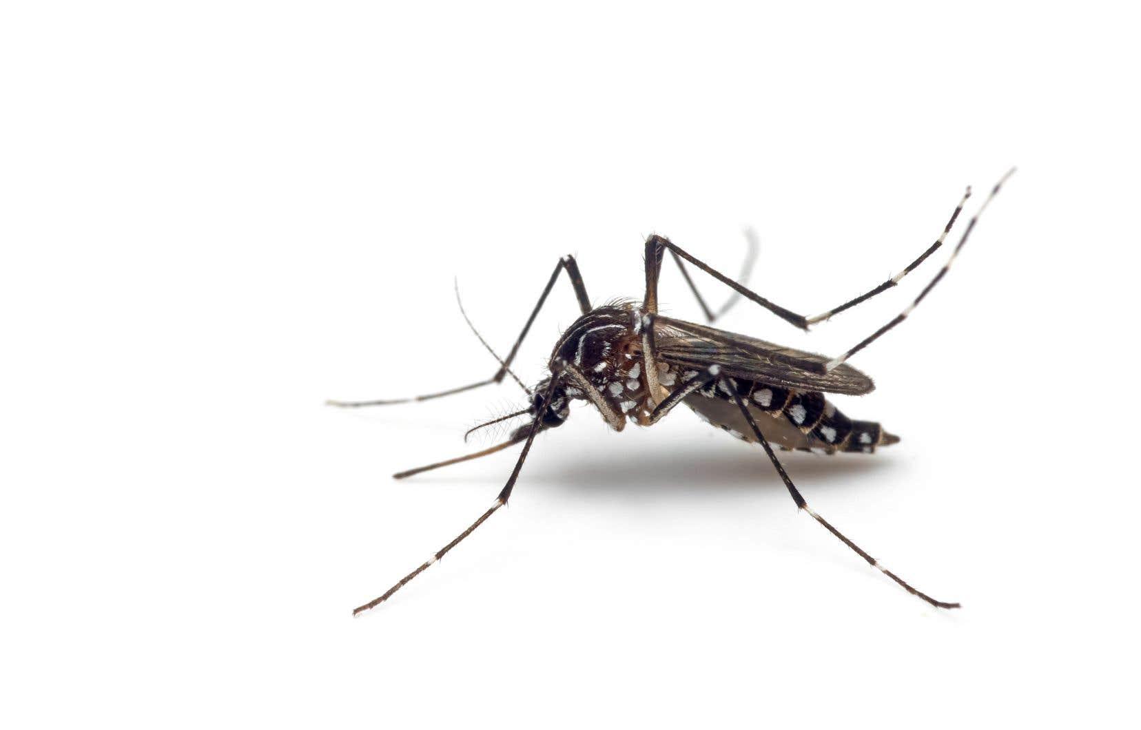 L'espèce «Aedes aegypti» se rapproche du Canada, voire du Québec. Mais on n'a pas à trop s'inquiéter, car les moustiques qui s'aventureraient ici rencontreraient une forte compétition puisque d'autres espèces de moustiques vivent au Québec.