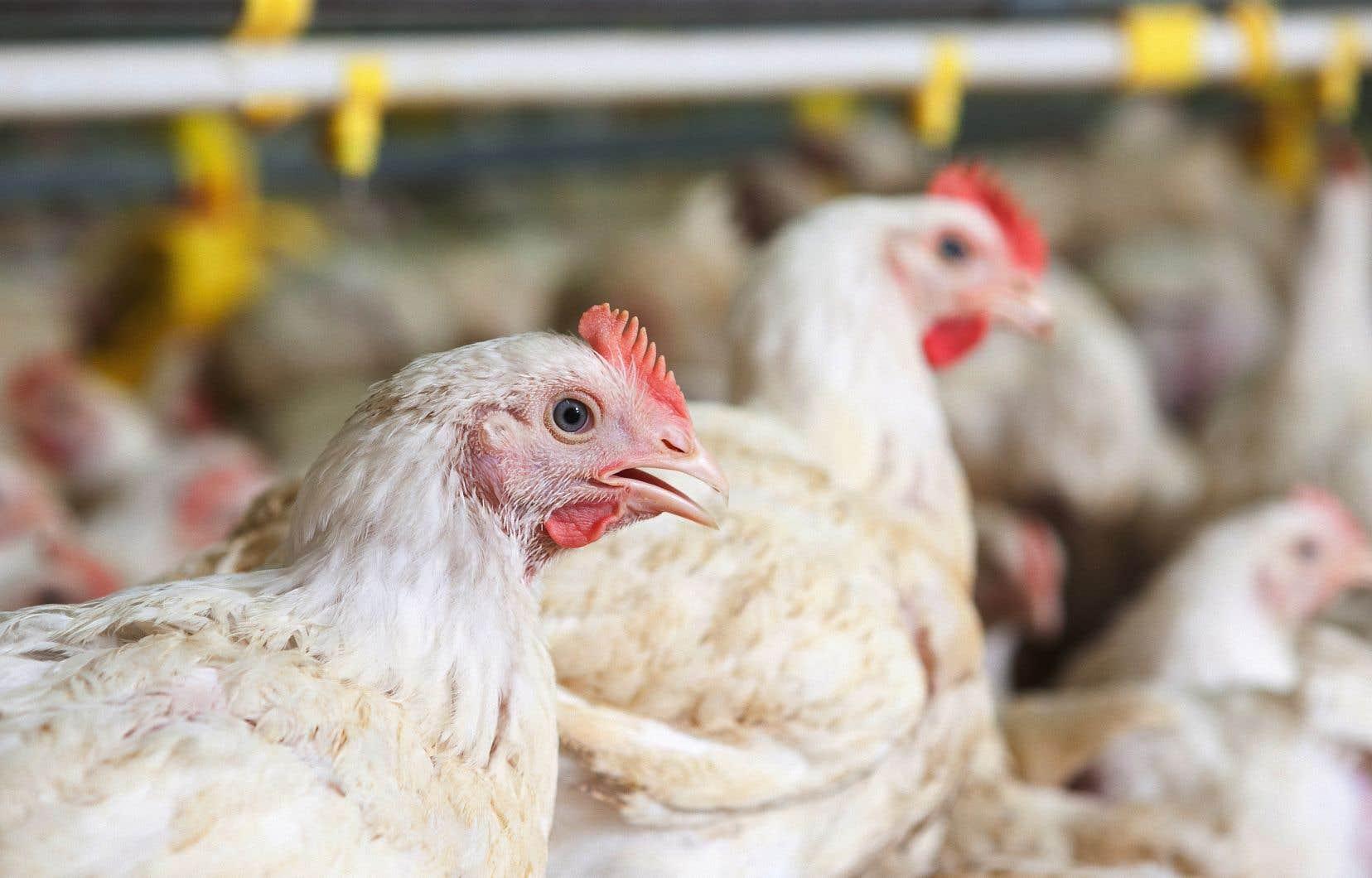 Un million de poulets ont dû être euthanasiés en trois semaines.