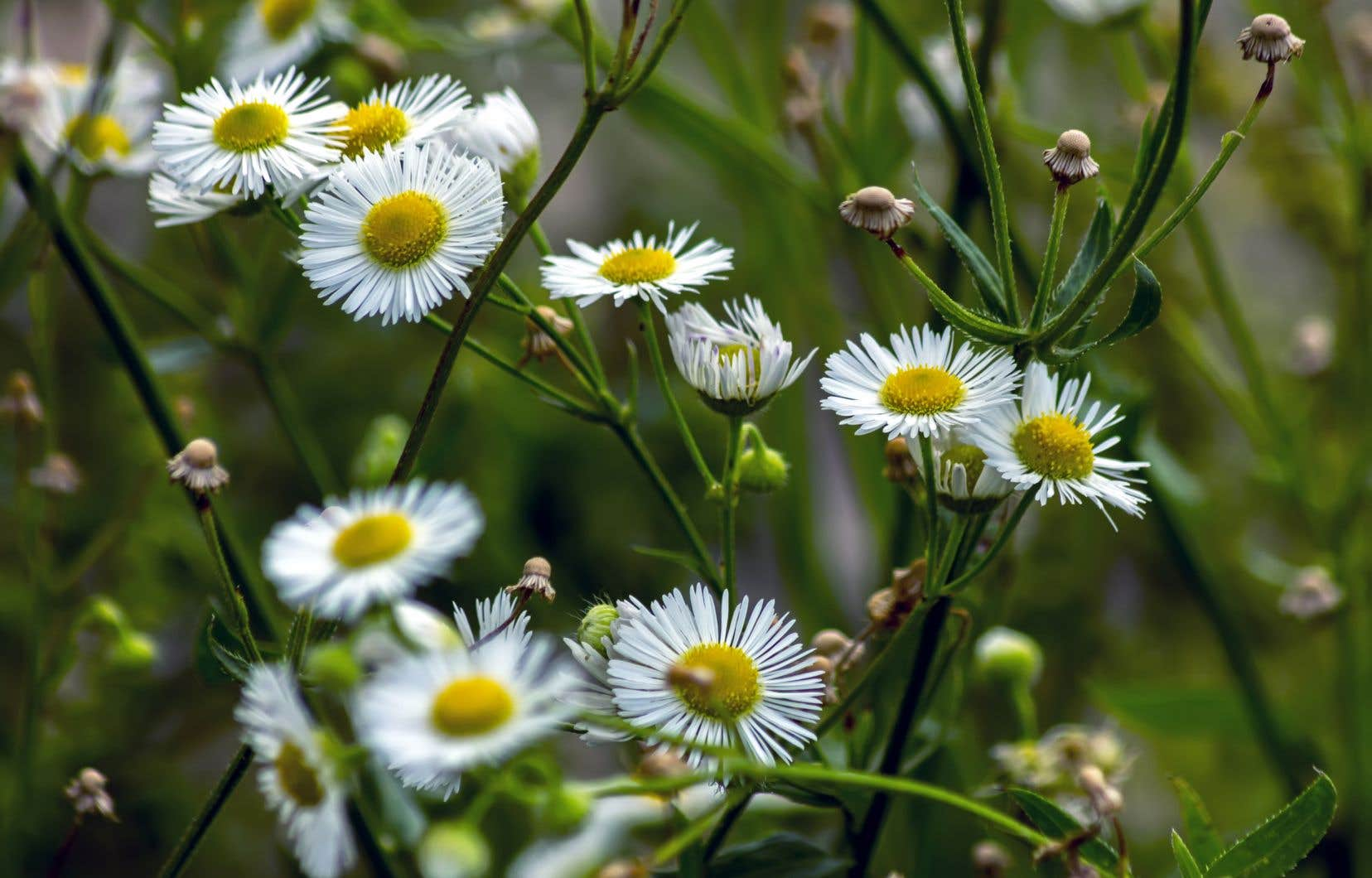 La camomille romaine, qui a des vertus calmantes, est sans doute la plante la plus consommée en tisane.