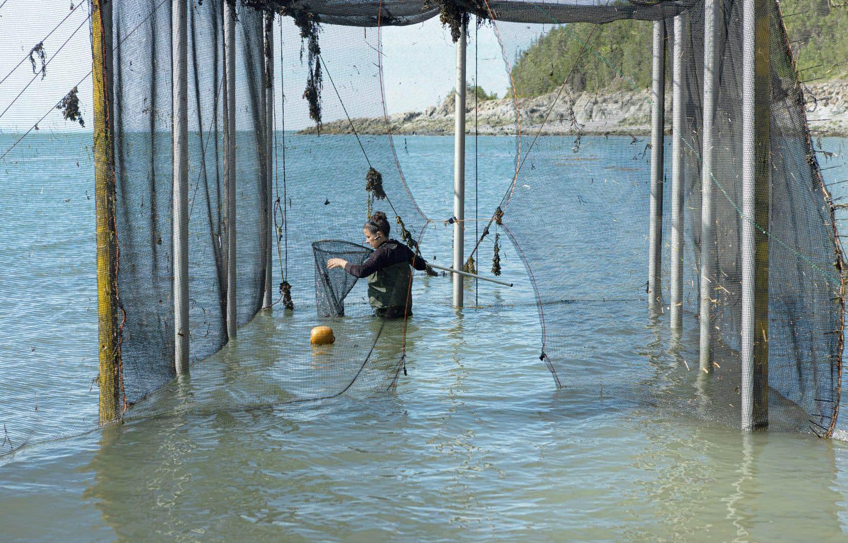 Julie Gauthier récupère ses poissons à marée basse à Saint-Irénée. Pêcheries Charlevoix possède le seul permis de pêche à la fascine commerciale au Canada.