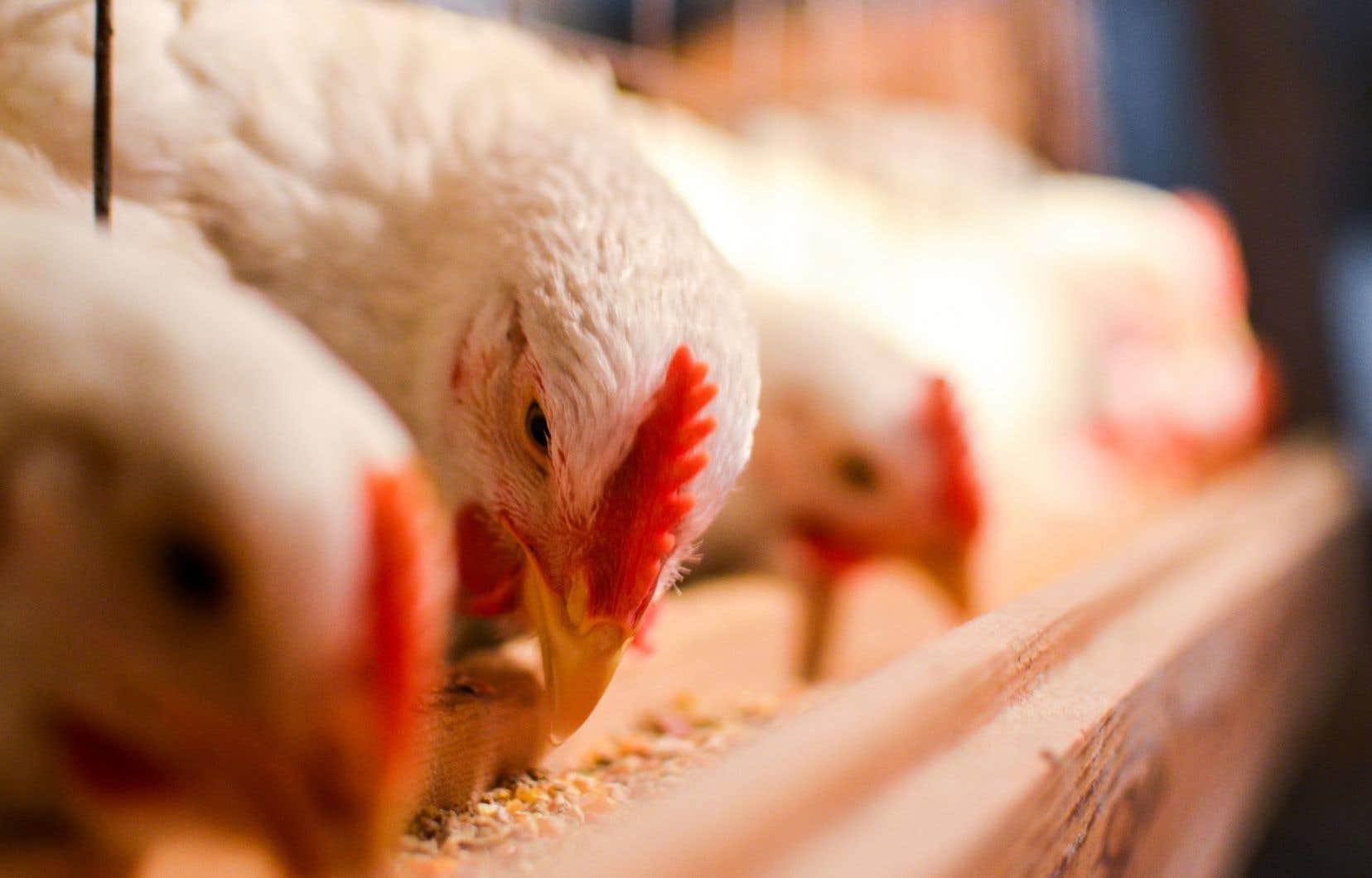 Cette grève a beaucoup fait parler à cause du gaspillage alimentaire qui en résulte, avec plus d'un million de poulets euthanasiés.