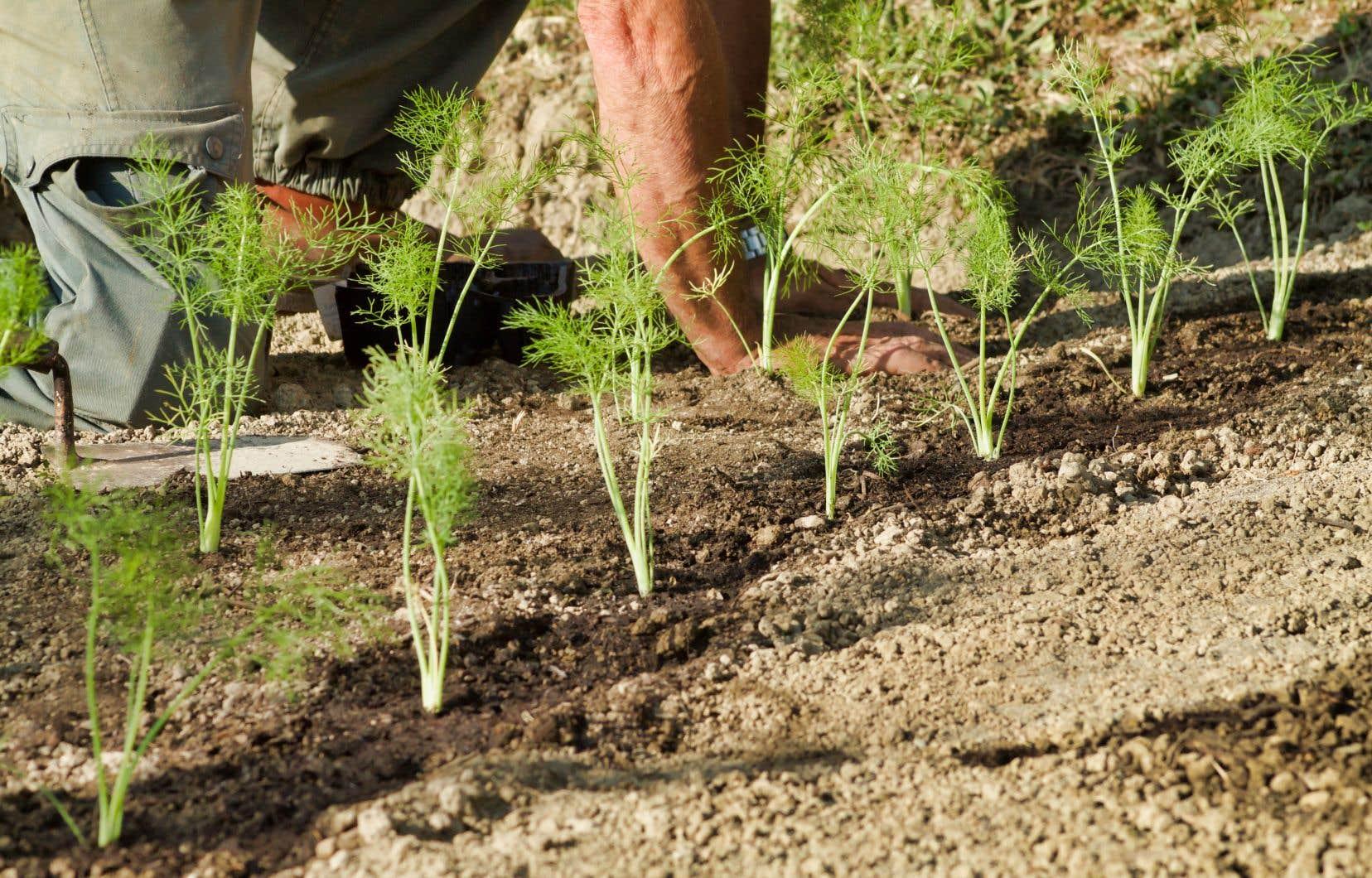 Plusieurs légumes (dont le fenouil) sont plantés en mi-saison, car ils atteignent leur maturité lors des nuits fraîches automnales.
