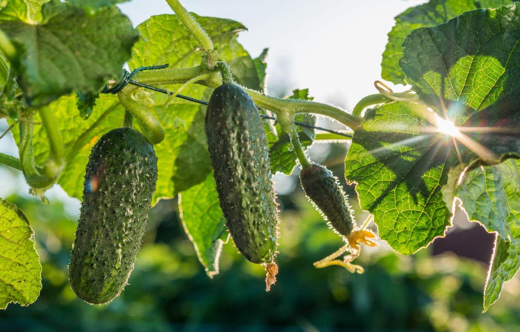 Il est encore temps de planter certains légumes comme les concombres, qui mettront à la fois de la couleur dans vos platebandes et de la fraîcheur dans vos assiettes.
