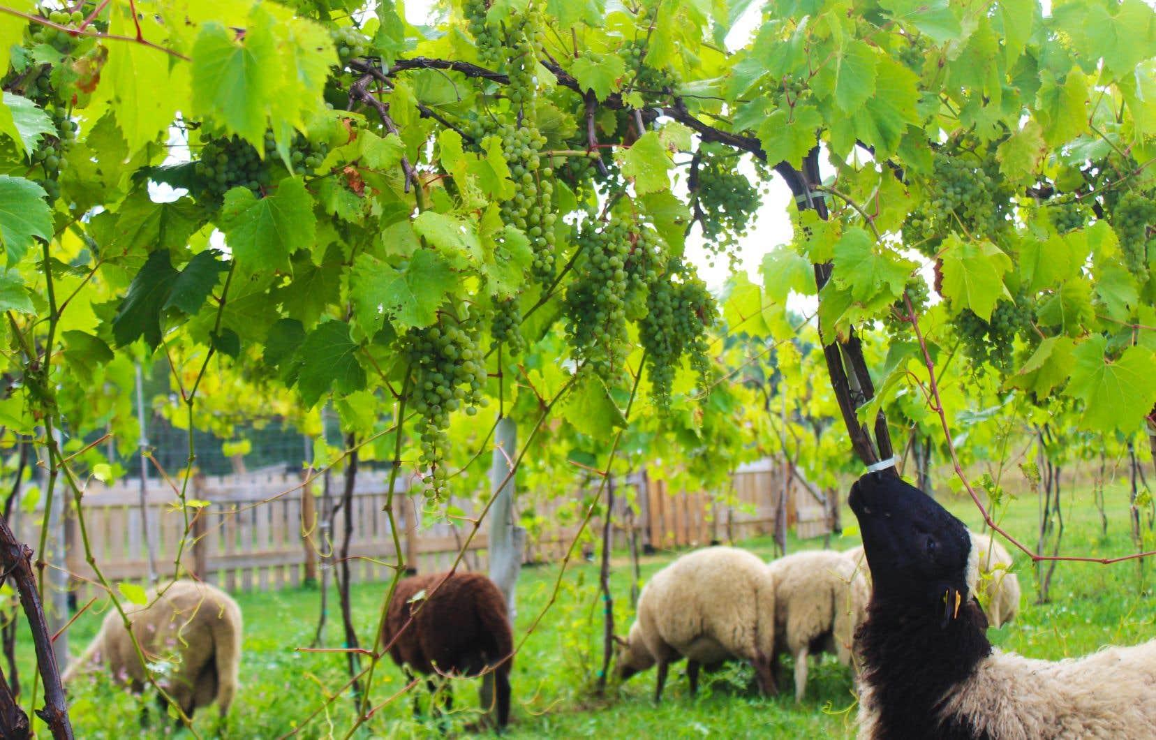 «Tout était à faire. On découvrait la vigne et la production de vin. On faisait naître un métier, une industrie», se souvient Simon Naud, propriétaire du Vignoble La Bauge, dont le père a planté en 1986 les premières vignes.