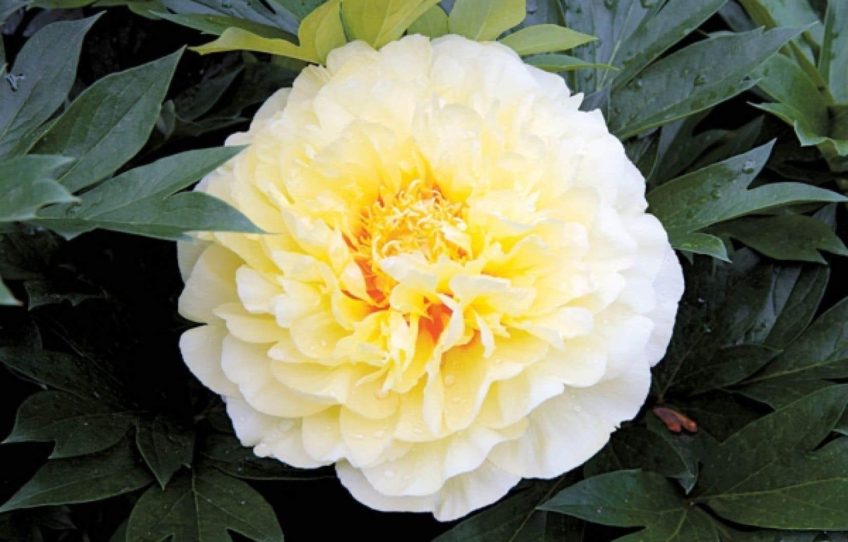 Une pivoine Itoh, l&rsquo;excellent cultivar Bartzella &agrave; fleur double jaune brillant. <br />