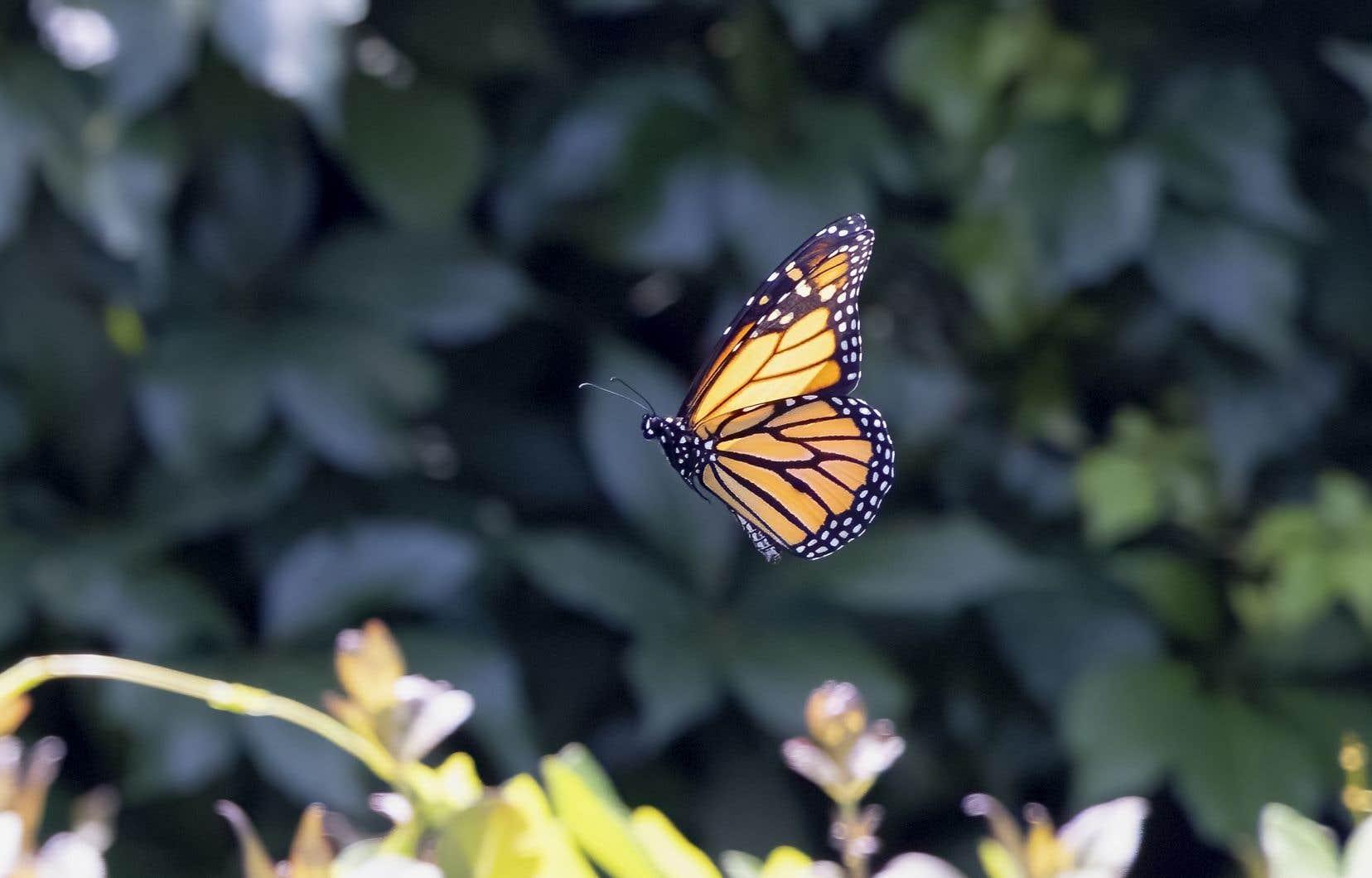 Depuis le printemps, Roger Giraldeau patrouille les abords des routes, les terrains des centres commerciaux, les parcs industriels et les chantiers de construction dans Boucherville. Il tente de repérer les plants d'asclépiades, la seule nourriture des chenilles et des monarques, pour sauver les chenilles et les œufs de ces papillons, avant le passage des tondeuses.