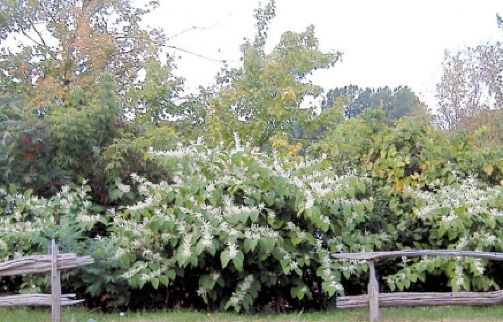 La renou&eacute;e japonaise est l&rsquo;une des plantes invasives les plus pr&eacute;occupantes et il est pratiquement impossible de l&rsquo;&eacute;liminer.<br />