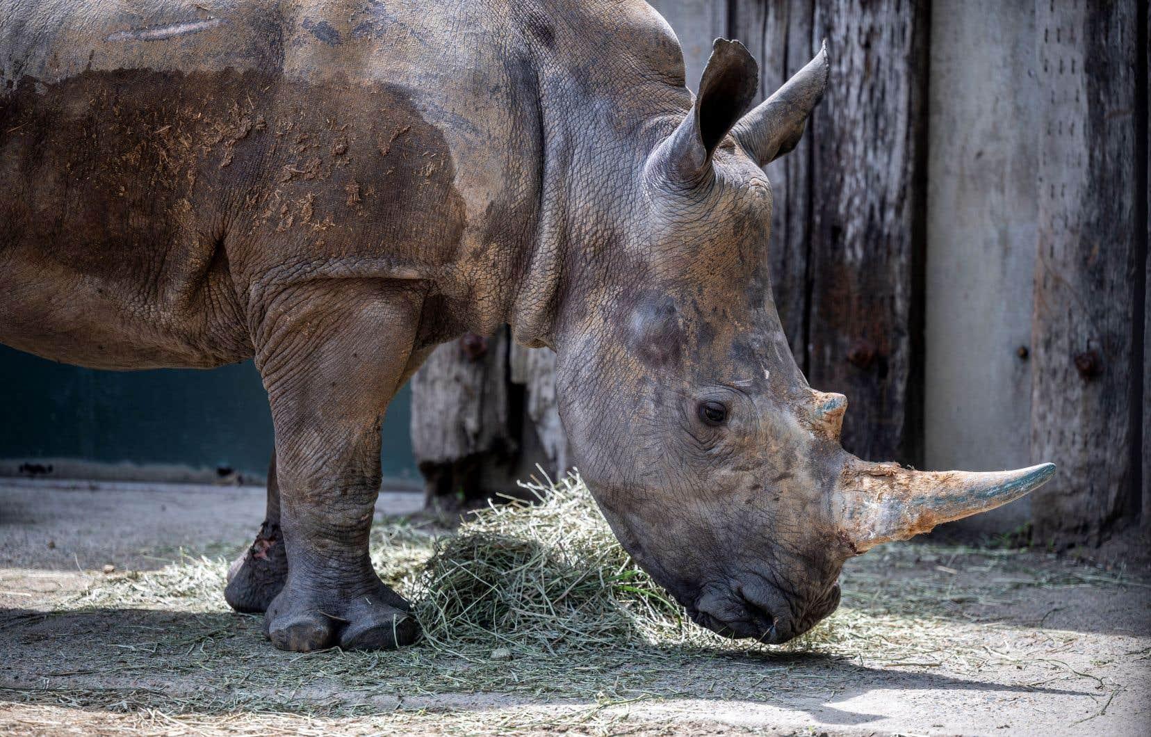 Il ne reste plus sur Terre que deux rhinocéros blancs femelles, Najin et sa fille Fatu, qui vivent sous bonne garde dans la réserve kényane d'Ol Pejeta.