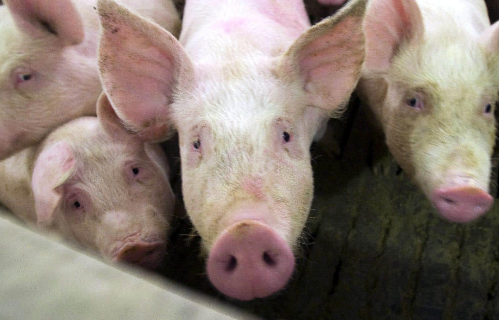 Faute de d'ententes entre les partis, les Éleveurs de porcs du Québec craignentque ses membres doivent en arriver à être forcés d'euthanasier des porcs.