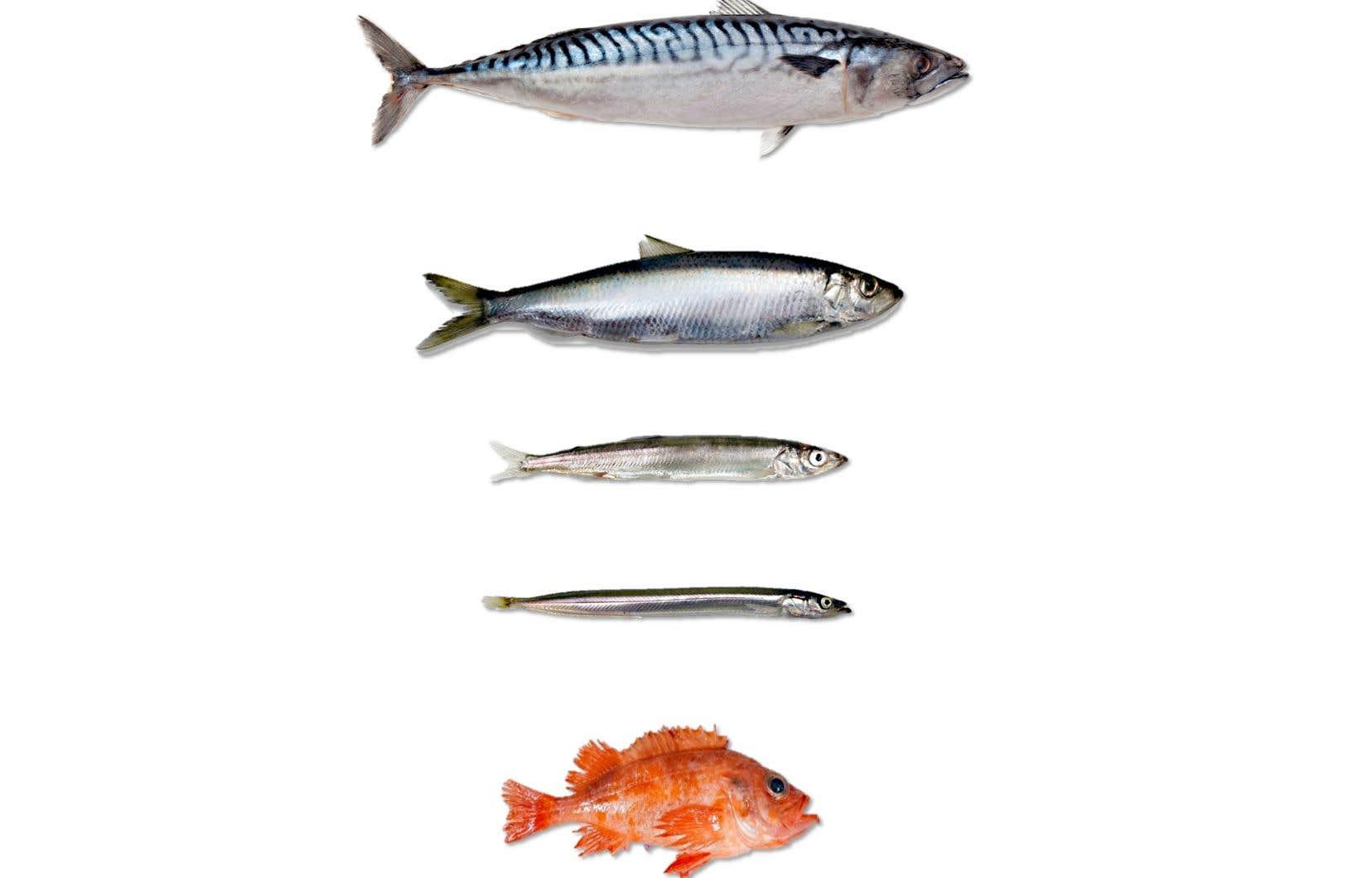 Cinq espèces de poissons que consomment les fous de Bassan: le maquereau, le hareng, le capelan, le lançon et le sébaste.