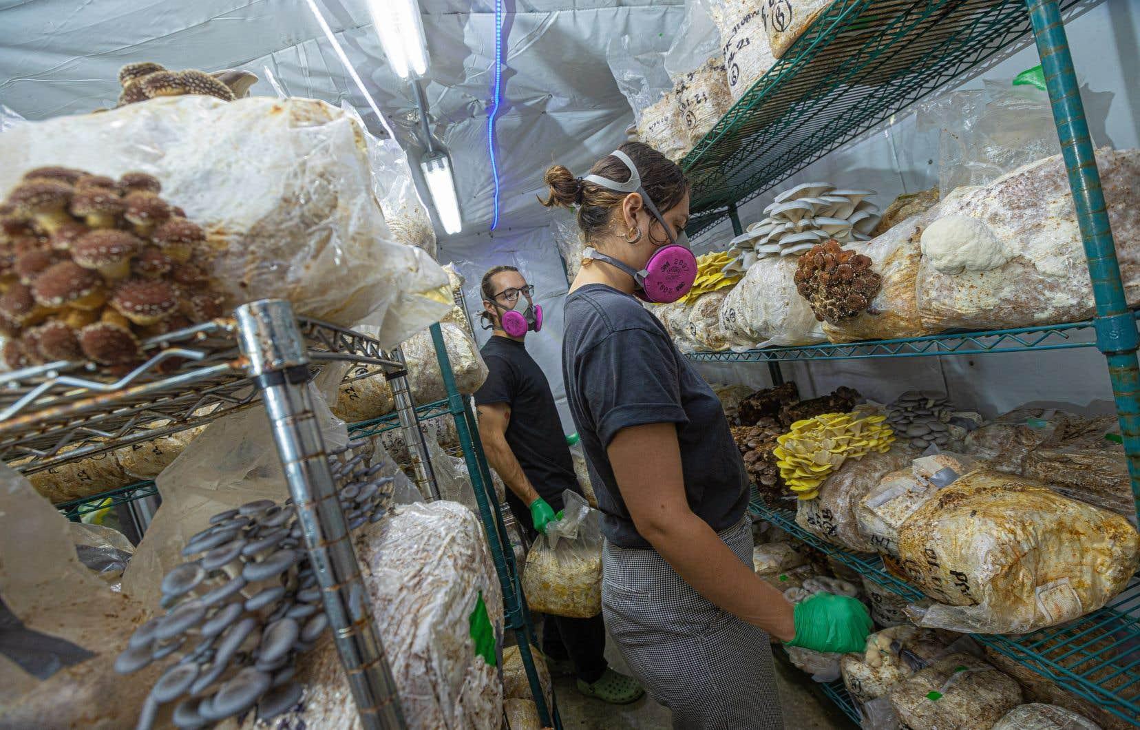 Élie Comtois et Léïa St-Pierre au travail dans leur ferme de champignons aux Éboulements