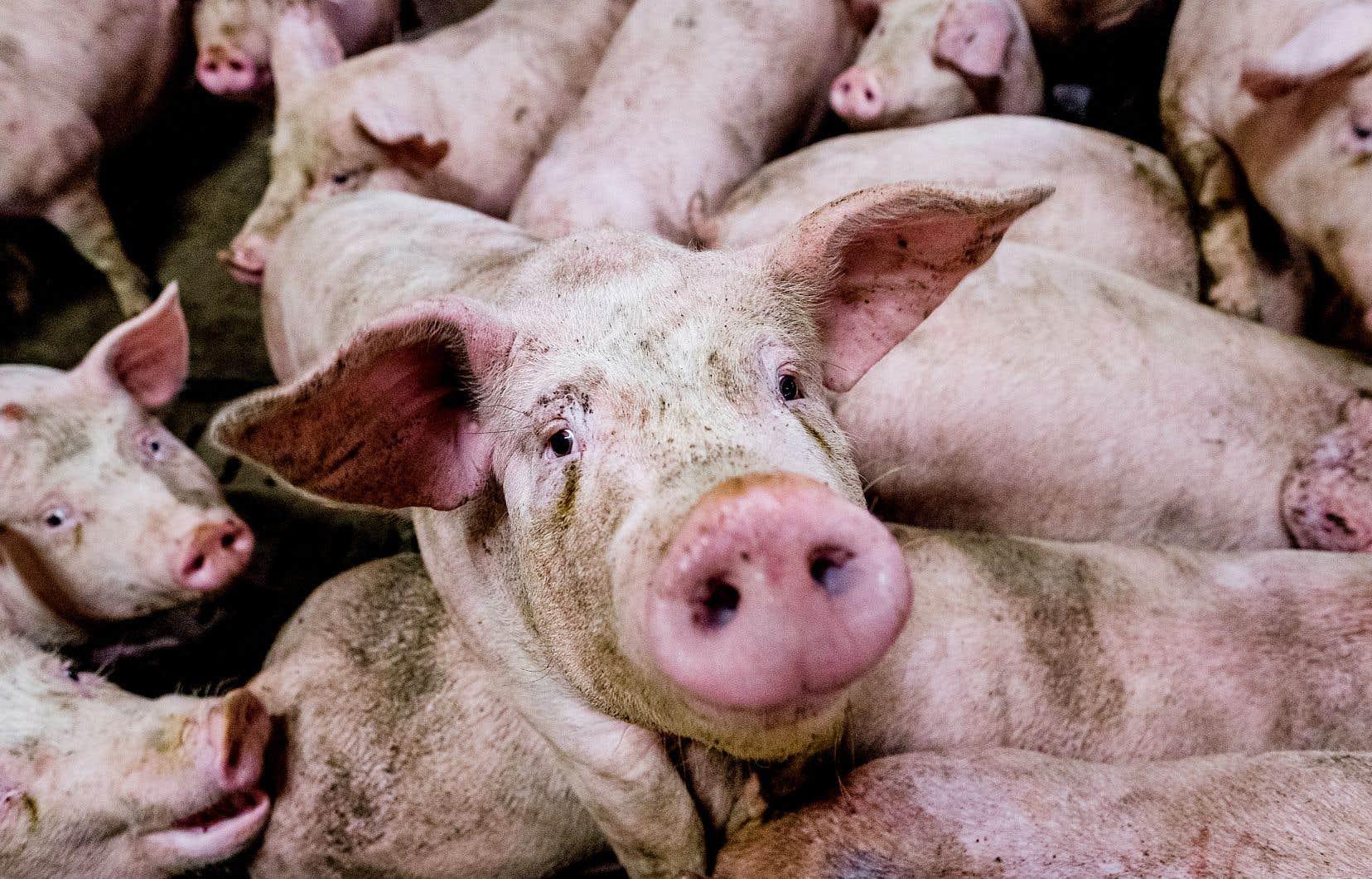 À la ferme Bellevue, en Estrie, les porcs deviennent trop gros et trop nombreux.