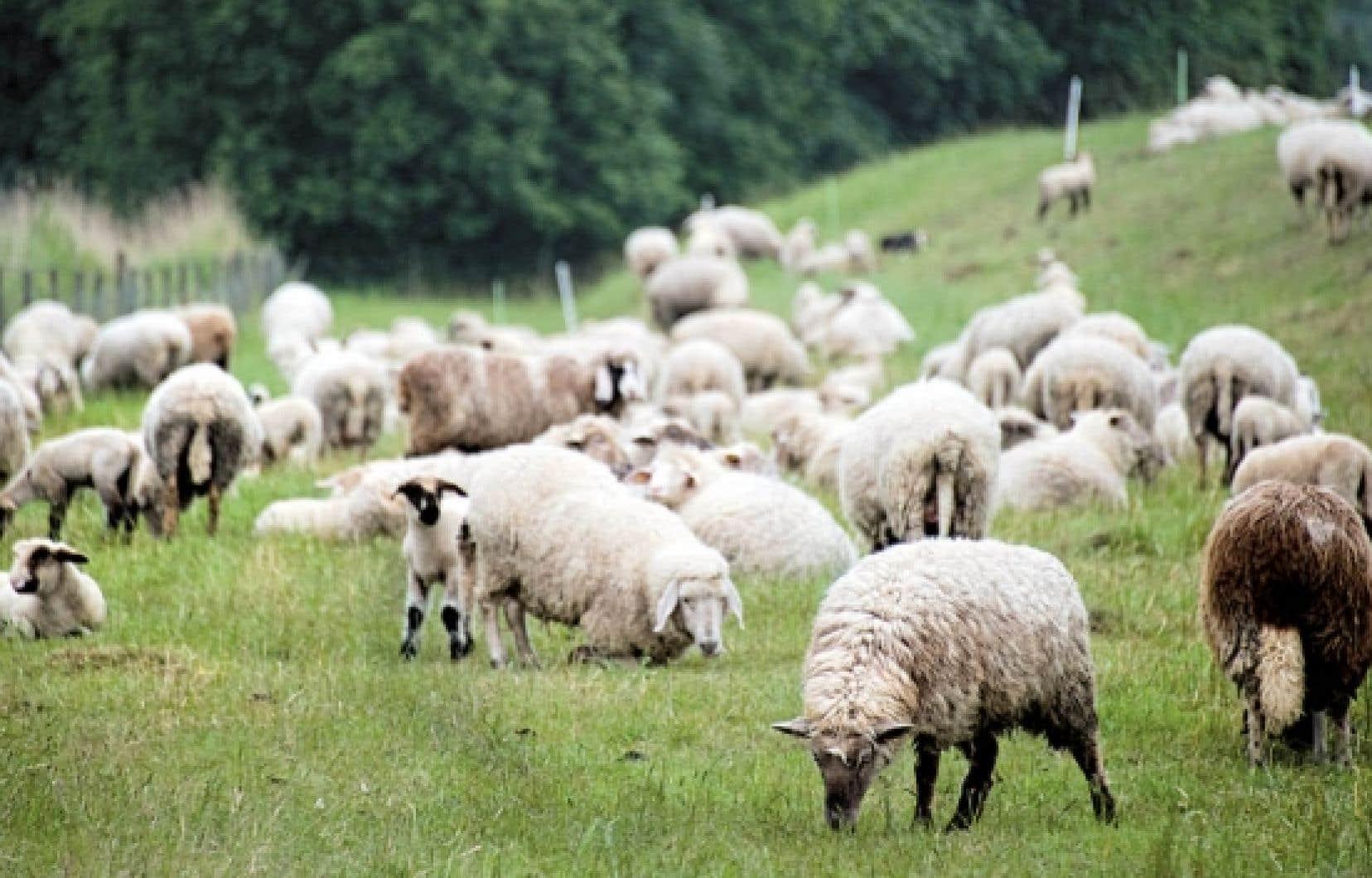 Atteinte de perfectionnisme aigu, l'épouse d'un ex-premier ministre du Canada a fait changer la couleur des moutons loués pour son garden party en Estrie. Elle les voulait tous de la même couleur.<br />