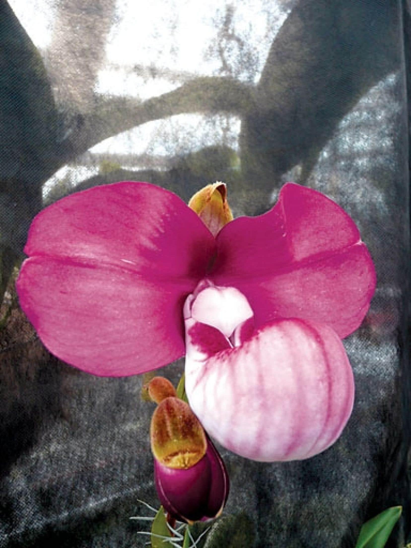 L'orchidée péruvienne