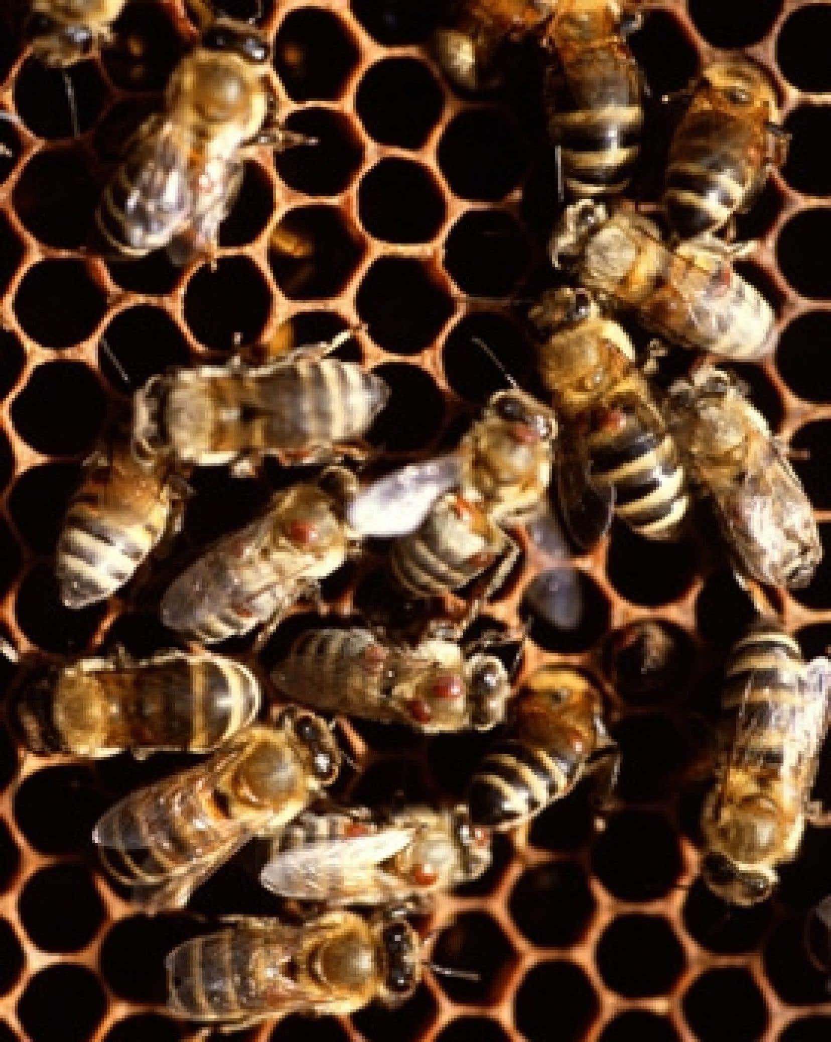 Lorsqu'une ruche est atteinte par le syndrome de l'effondrement, les abeilles la quittent pour ne plus y revenir, ce qui tranche avec leur attachement habituel pour leur port d'attache, où leur reine assure la relève.