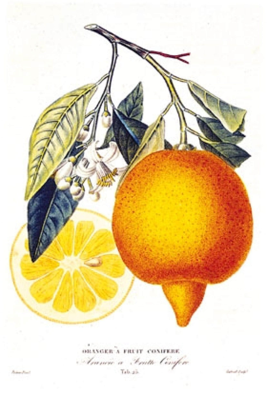 Une orange, planche botanique extraite de L'Histoire naturelle des orangers par J.-A. Risso et P.-A. Poiteau, 1818. Source: Images/leemage, source éditions du chêne