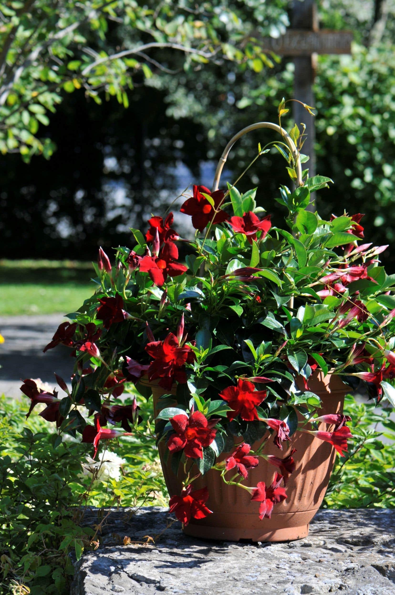 Mandeville Sun Parasol «Garden Crimson»