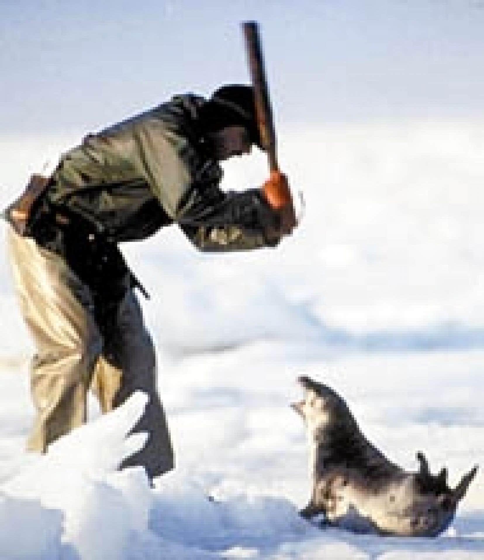 On voit ici un chasseur professionnel qui s'apprête à abattre un phoque adulte, car la chasse aux blanchons est totalement interdite depuis longtemps.