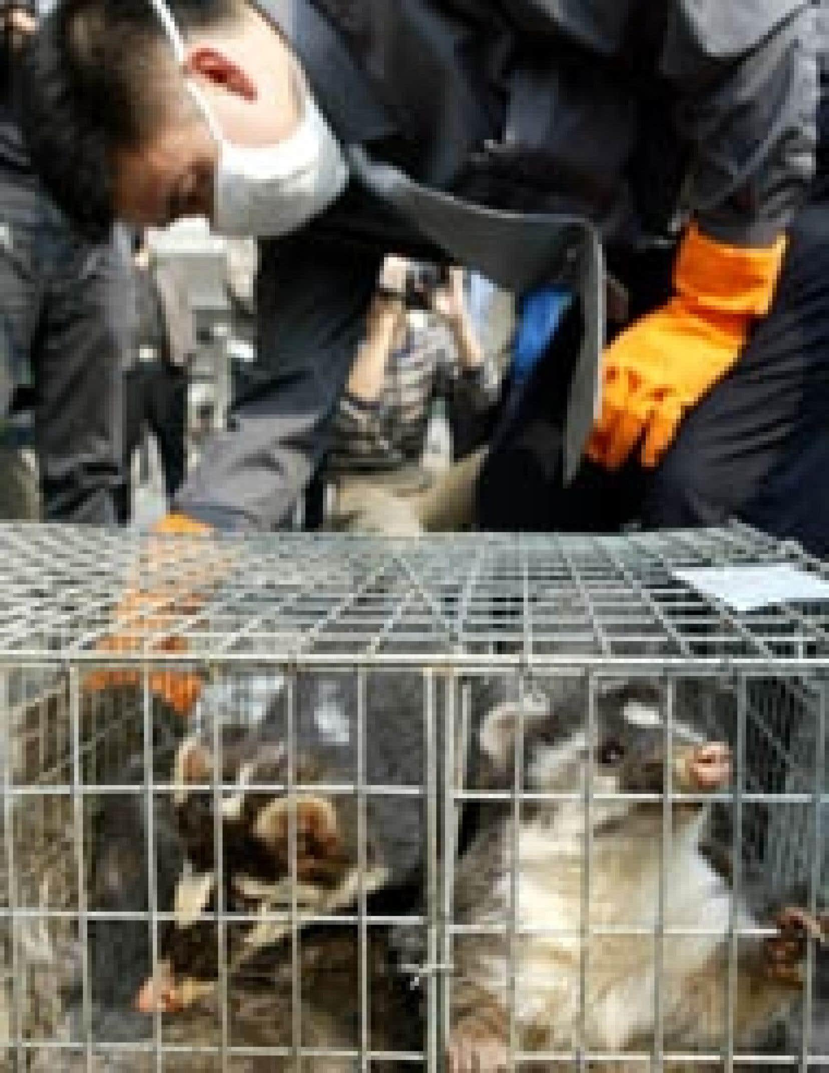 Confiscation de civettes à Guangzhou.