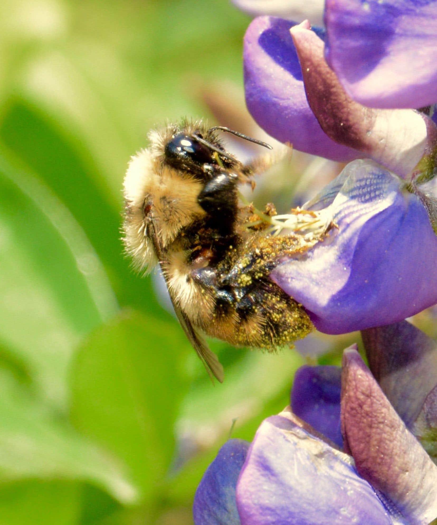 À l'instar des abeilles, le bourdon joue un rôle majeur pour la biodiversité et la pollinisation de certaines espèces de plantes.