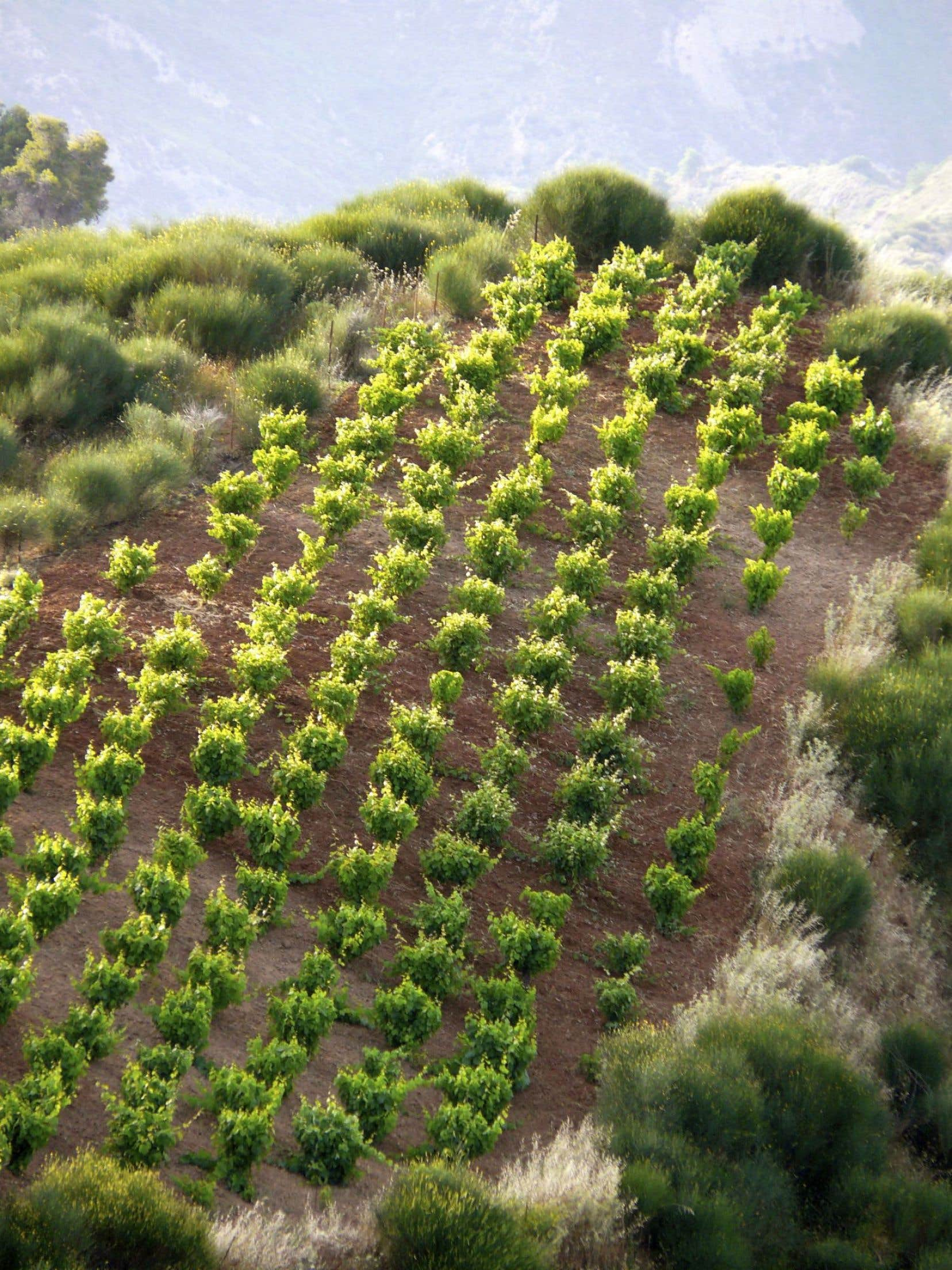 Un exemple de complantation (des cépages variés plantés en foule), ici en Grèce.