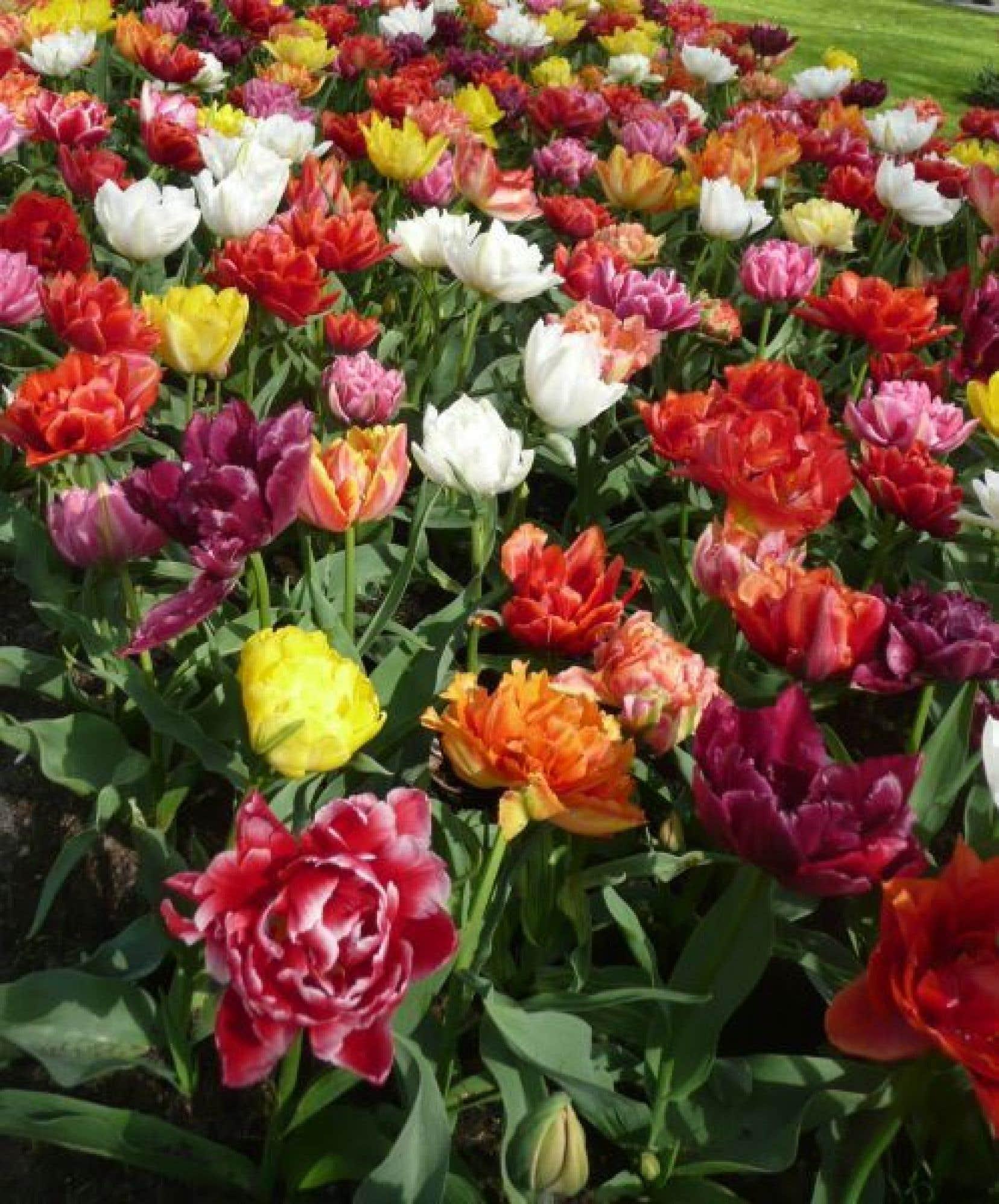 Parmi les tardives, on trouve les généreuses tulipes Doubles qui ressemblent à des pivoines.