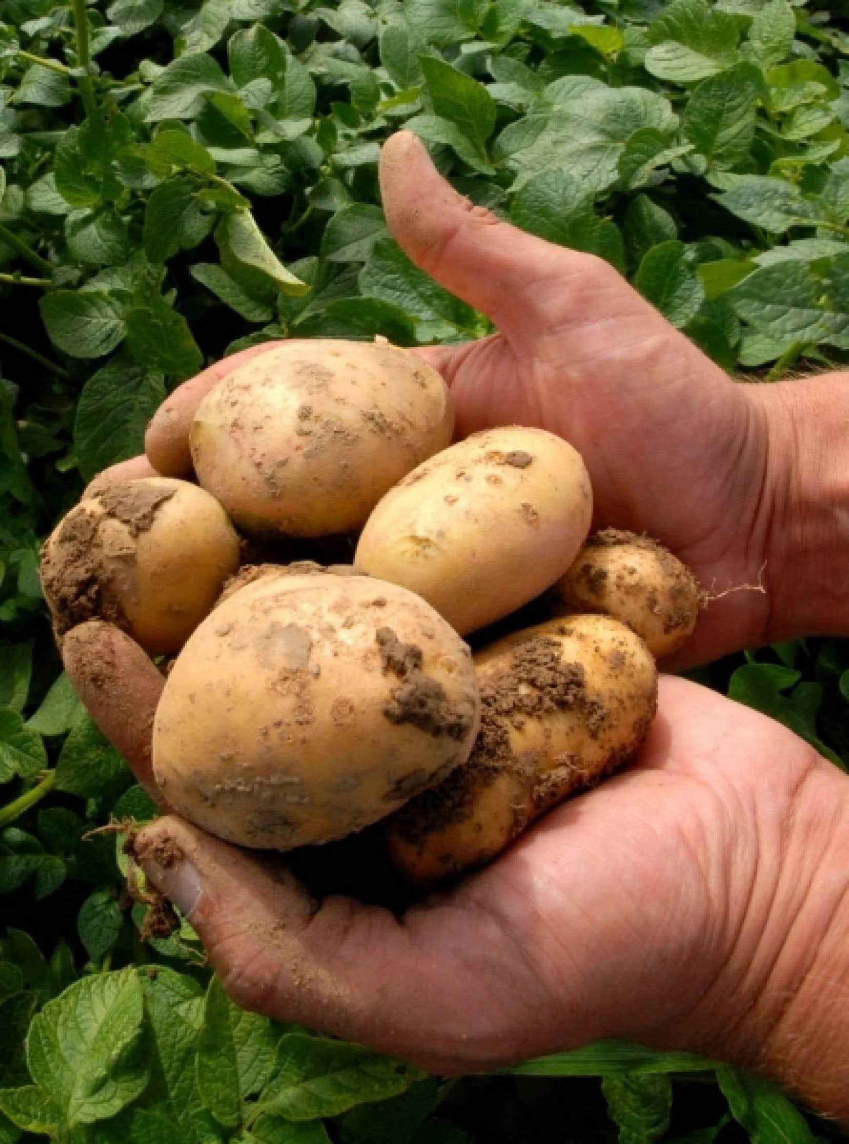 En Allemagne, un homme tient dans ses mains des pommes de terre génétiquement modifiées. Entre 2009 et 2010, 148 millions d'hectares d'OGM — soit 3000 fois la superficie de l'île de Montréal — ont été cultivés sur la planète.<br />