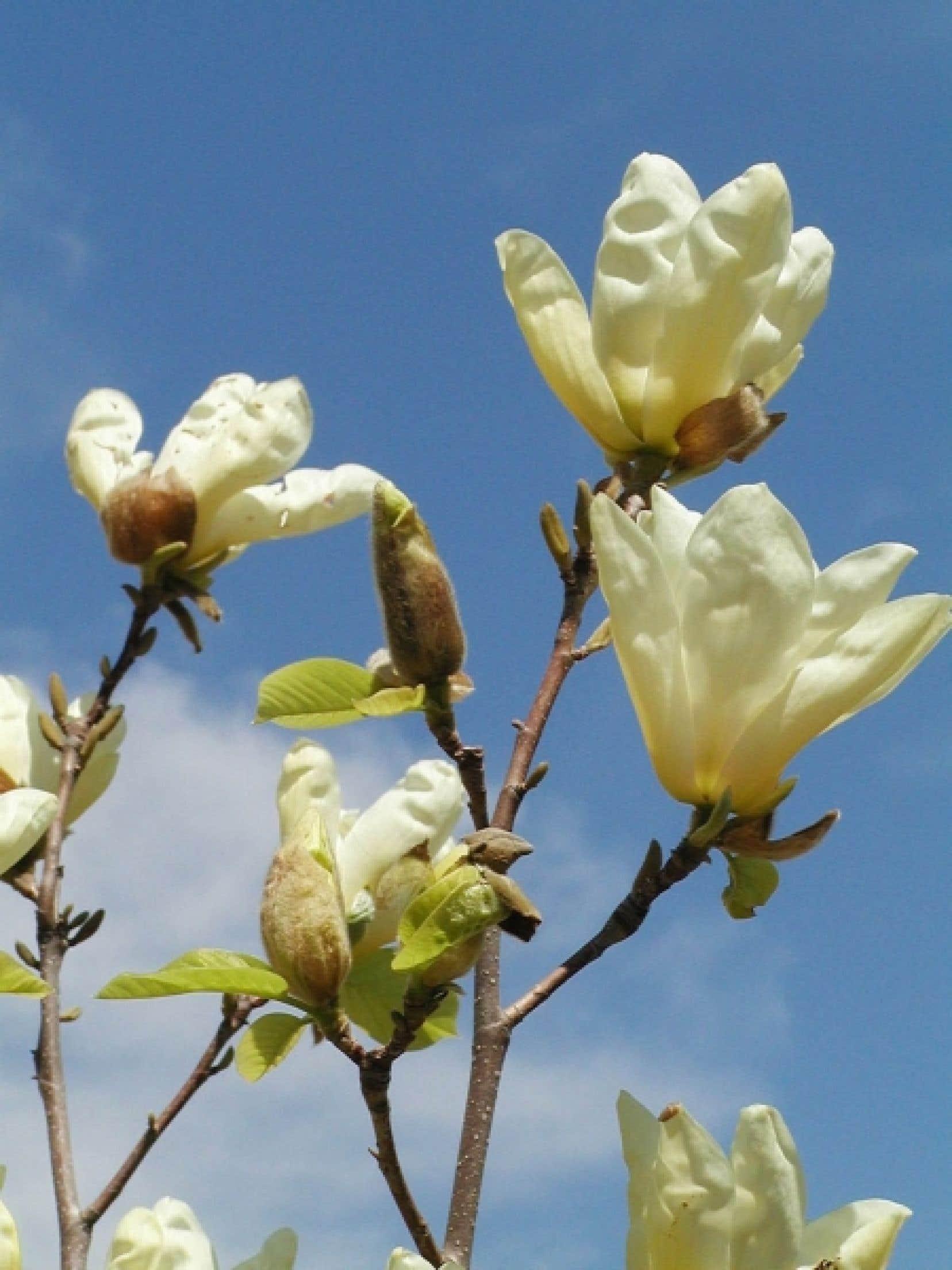 Les fleurs jaunes, immenses et lumineuses, en forme de tulipe, du magnolia &laquo;Elizabeth&raquo; sont tout simplement sublimes. Un spectacle impressionnant &agrave; chaque printemps avant la feuillaison.<br />