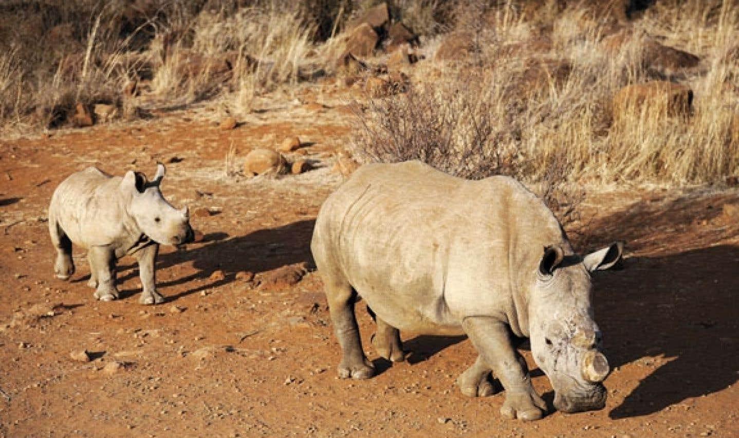 Pour la légalisation du marché des cornes de rhinocéros