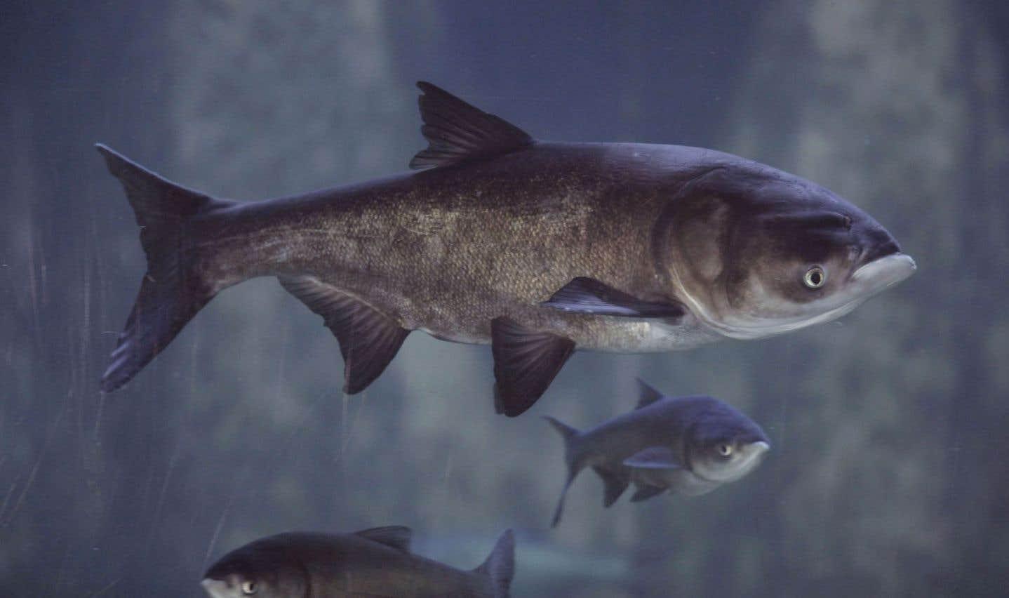 La carpe asiatique menace les Grands Lacs
