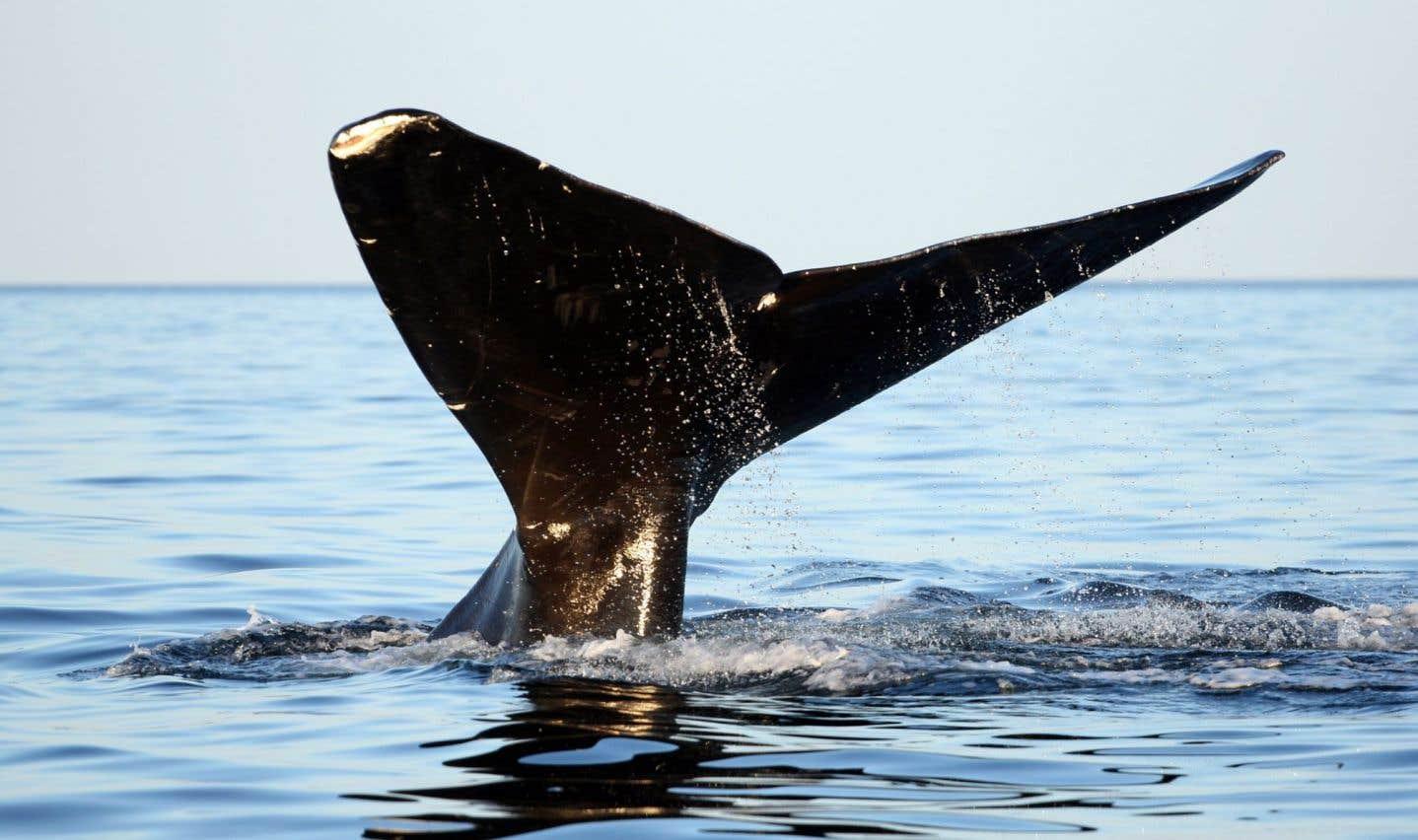 Une autre baleine menacée sur la route de TransCanada