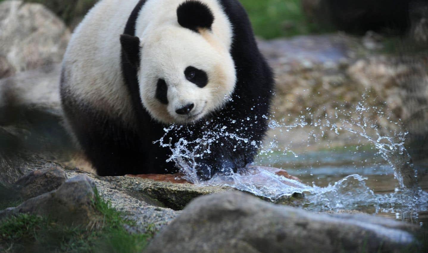 Laisser s'éteindre le panda et sauver la biodiversité