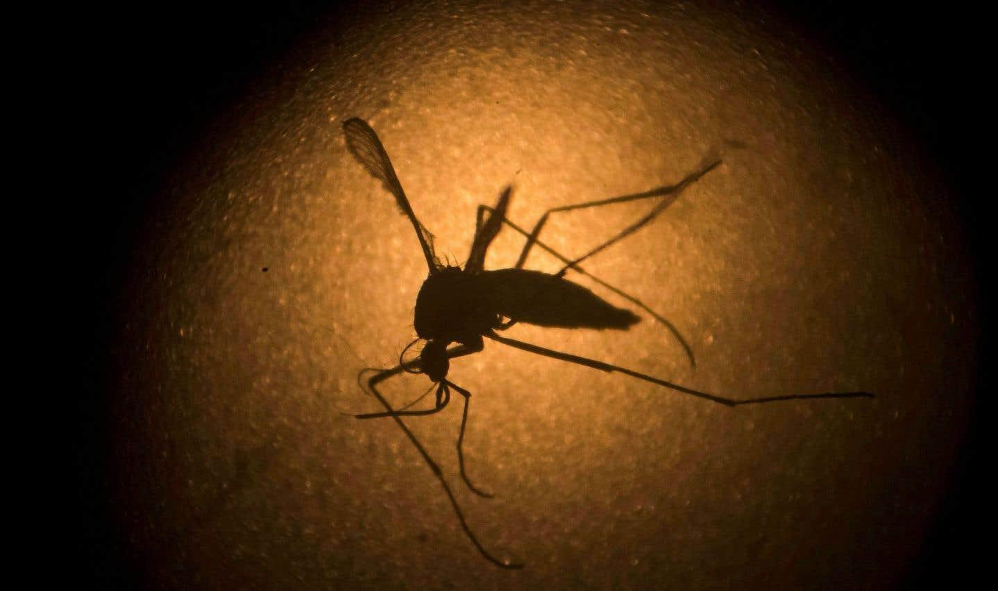 Le moustique «Aedes aegypti», porteur du virus