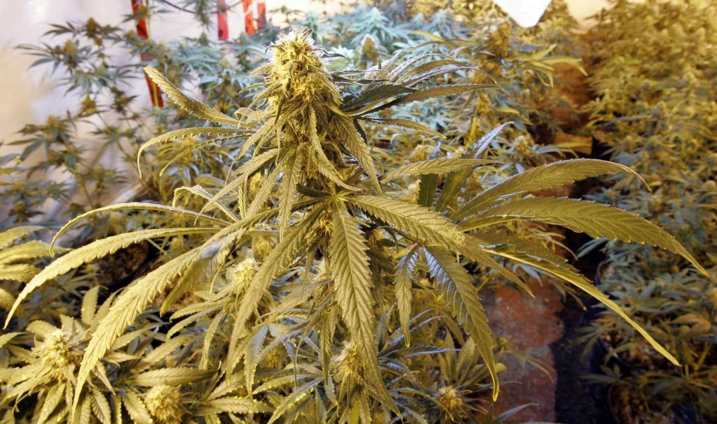 Légalisation de la marijuana: le DPB prévoit des revenus modestes