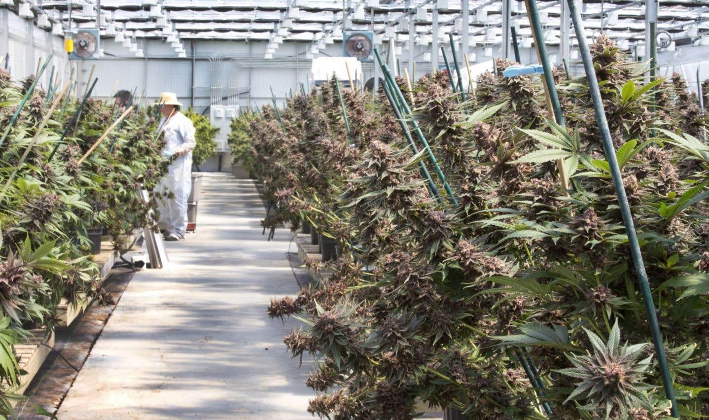 Cliniques financées par l'industrie de la marijuana: le Collège des médecins est inquiet